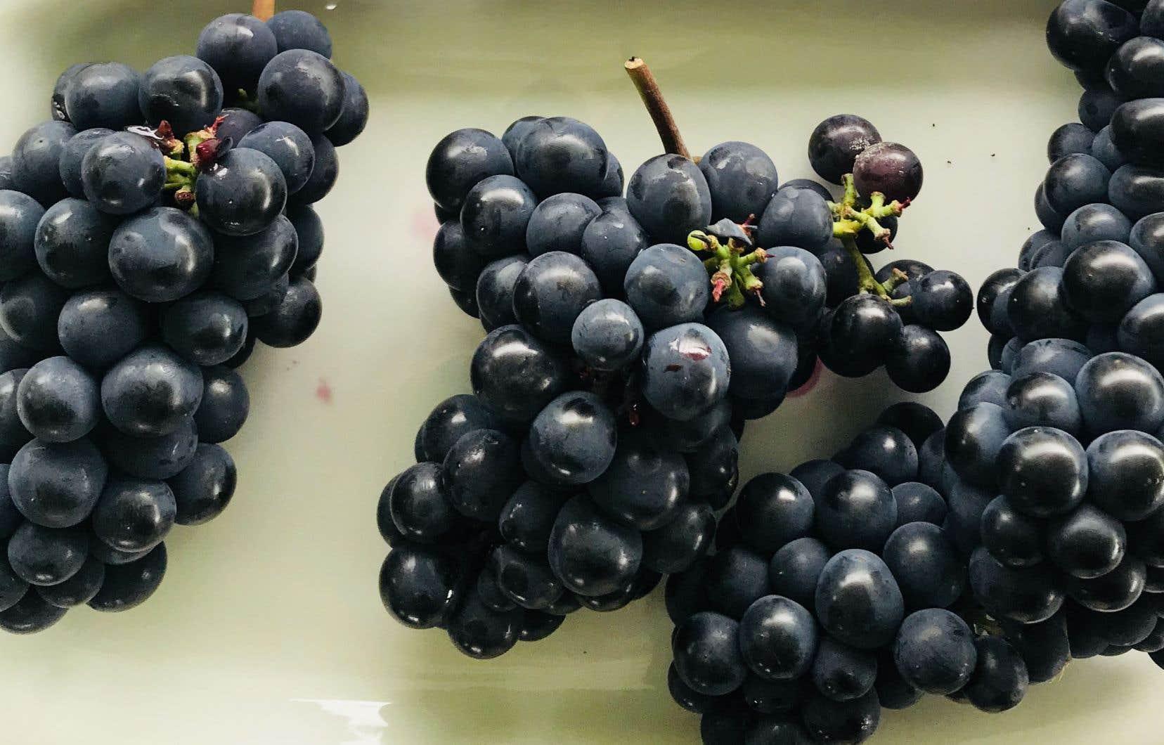 Les hybrides québécois: des cépages adaptés de mieux en mieux compris et transformés par les vignerons d'ici.