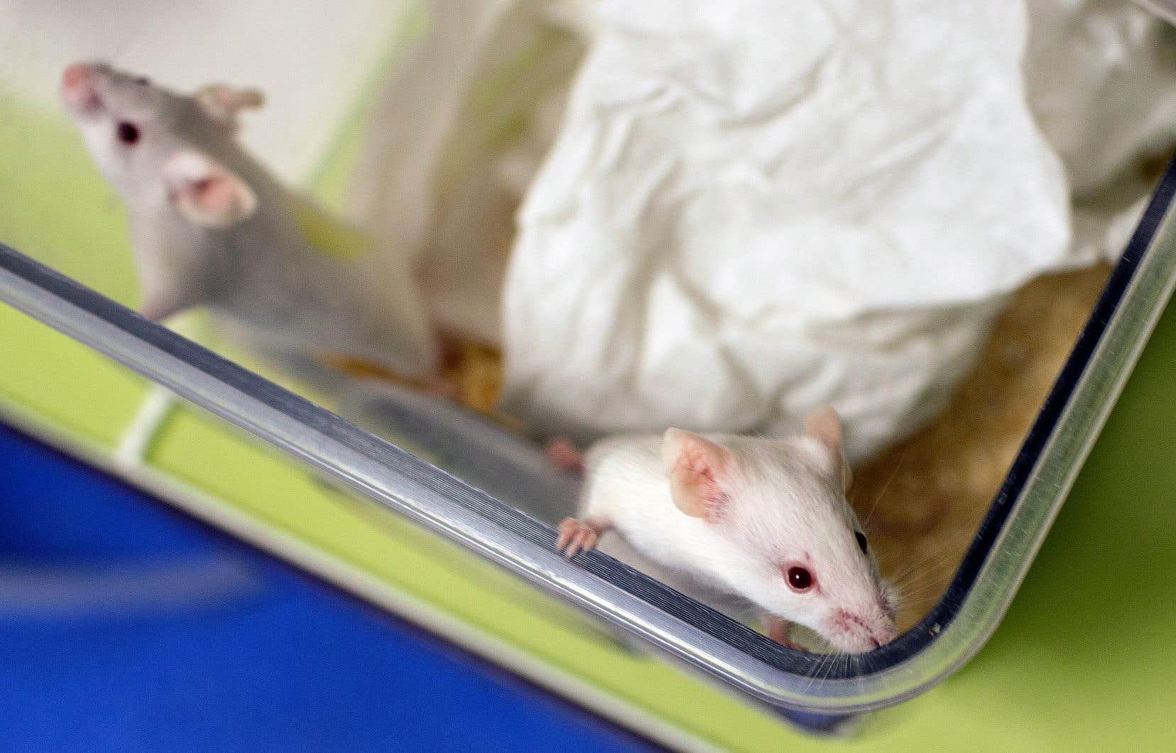 En utilisant des souris à la flore intestinale altérée par l'absence d'un gène, les chercheurs se sont rendu compte qu'elles étaient plus sensibles à l'eczéma.