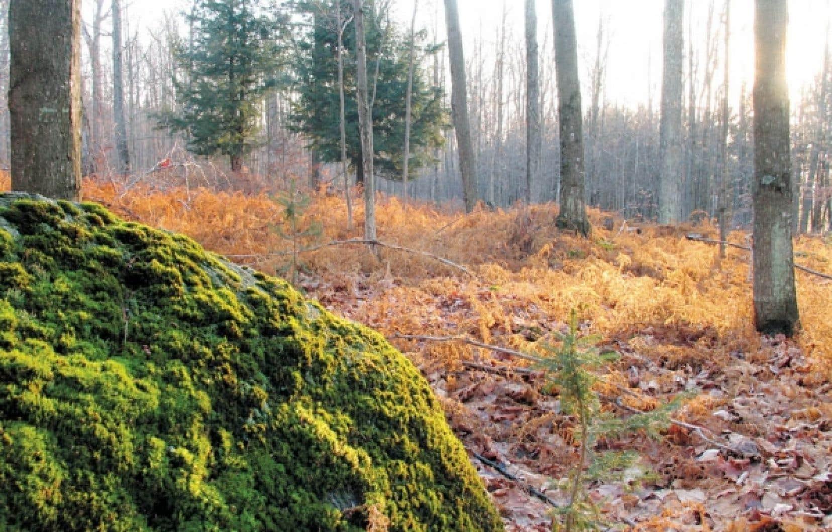Paysage forestier à Sutton. Des marchands de bois, propriétaires de vastes terrains boisés à Sutton, ont vainement tenté de faire annuler un règlement municipal sur la gestion de la forêt.
