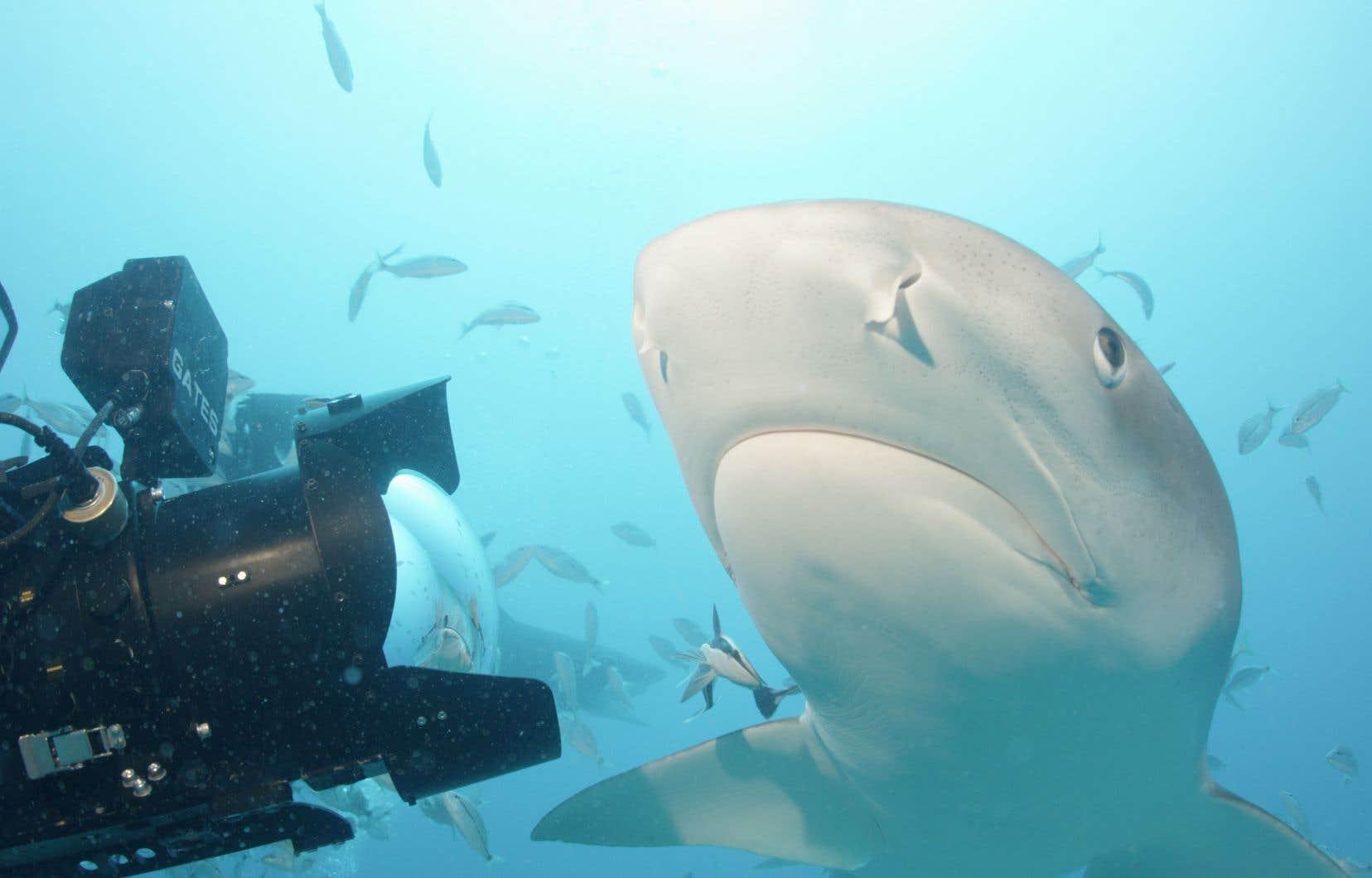 Les requins, les plus grands prédateurs des océans, sont victimes d'une pêche habituellement illégale et systématiquement excessive.