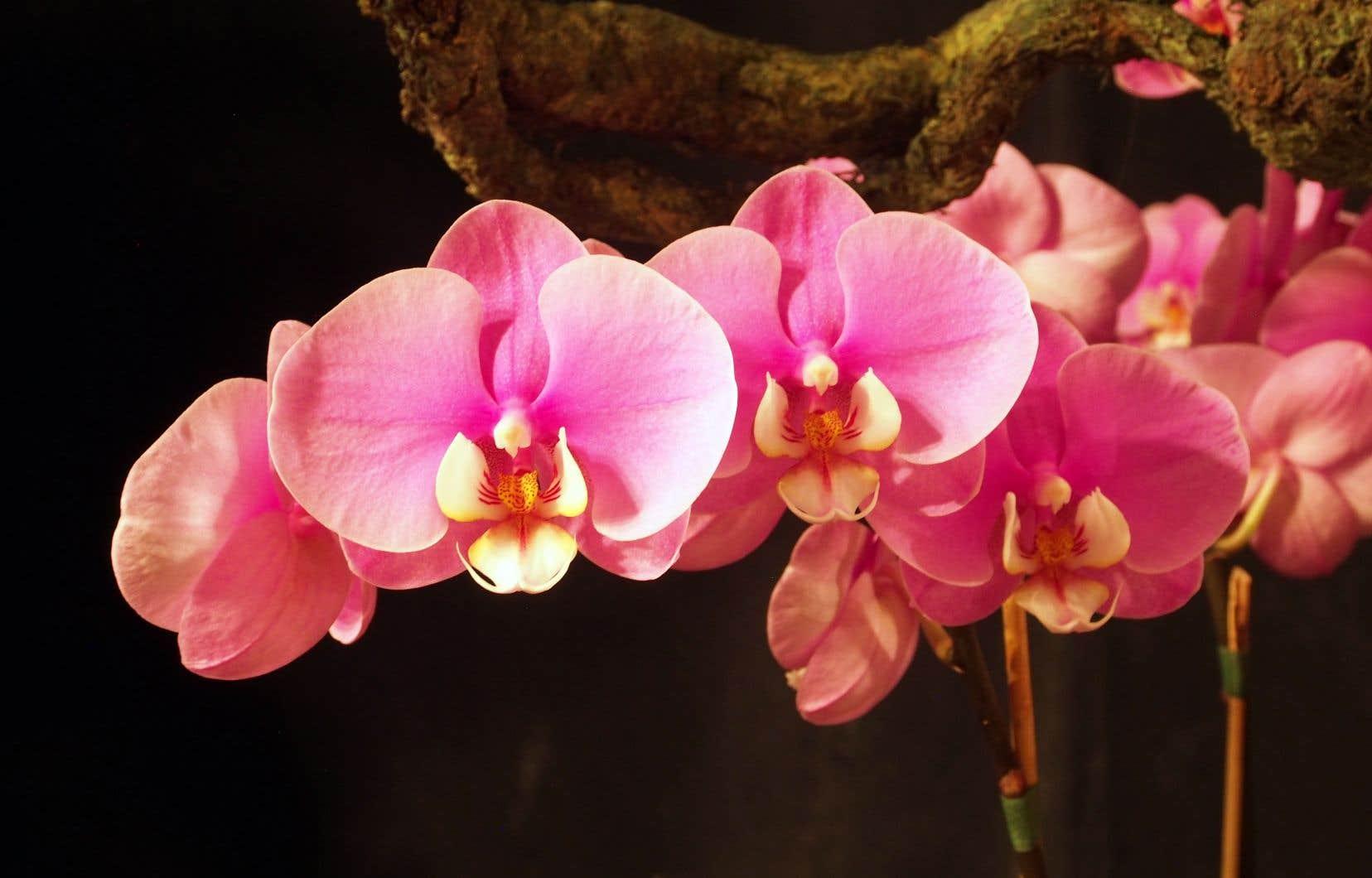 «Phalaenopsis» vient du mot grec «phalaina», lequel signifie «papillon de nuit». Si vous observez sa fleur, vous remarquerez que ses pétales ressemblent effectivement à des ailes de papillon, d'où son nom vernaculaire d'orchidée papillon.