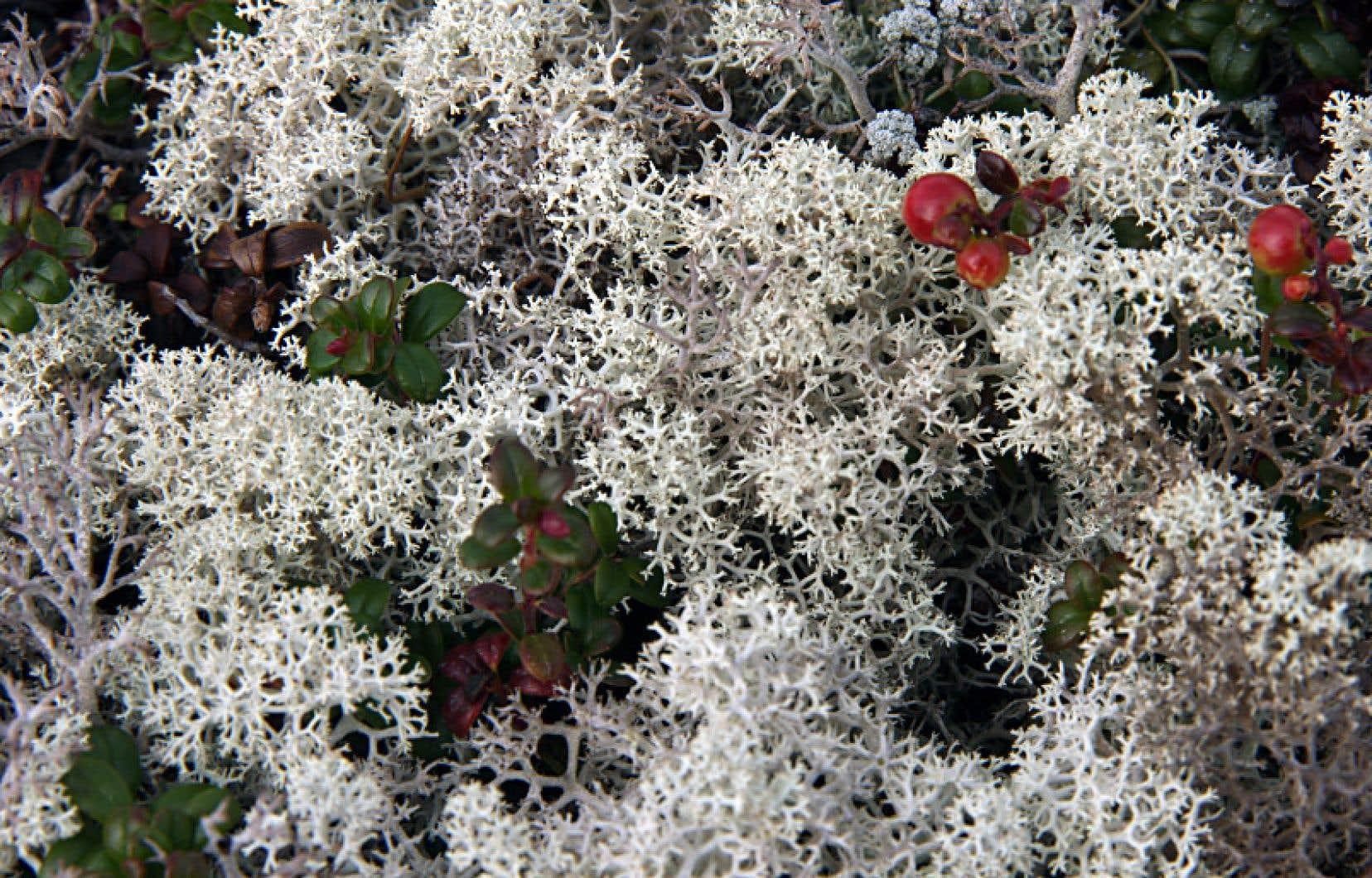 Le lichen, un organisme de symbiose entre les algues et les champignons, est abondant dans la région du complexe La Grande, dans le Nord-du-Québec.