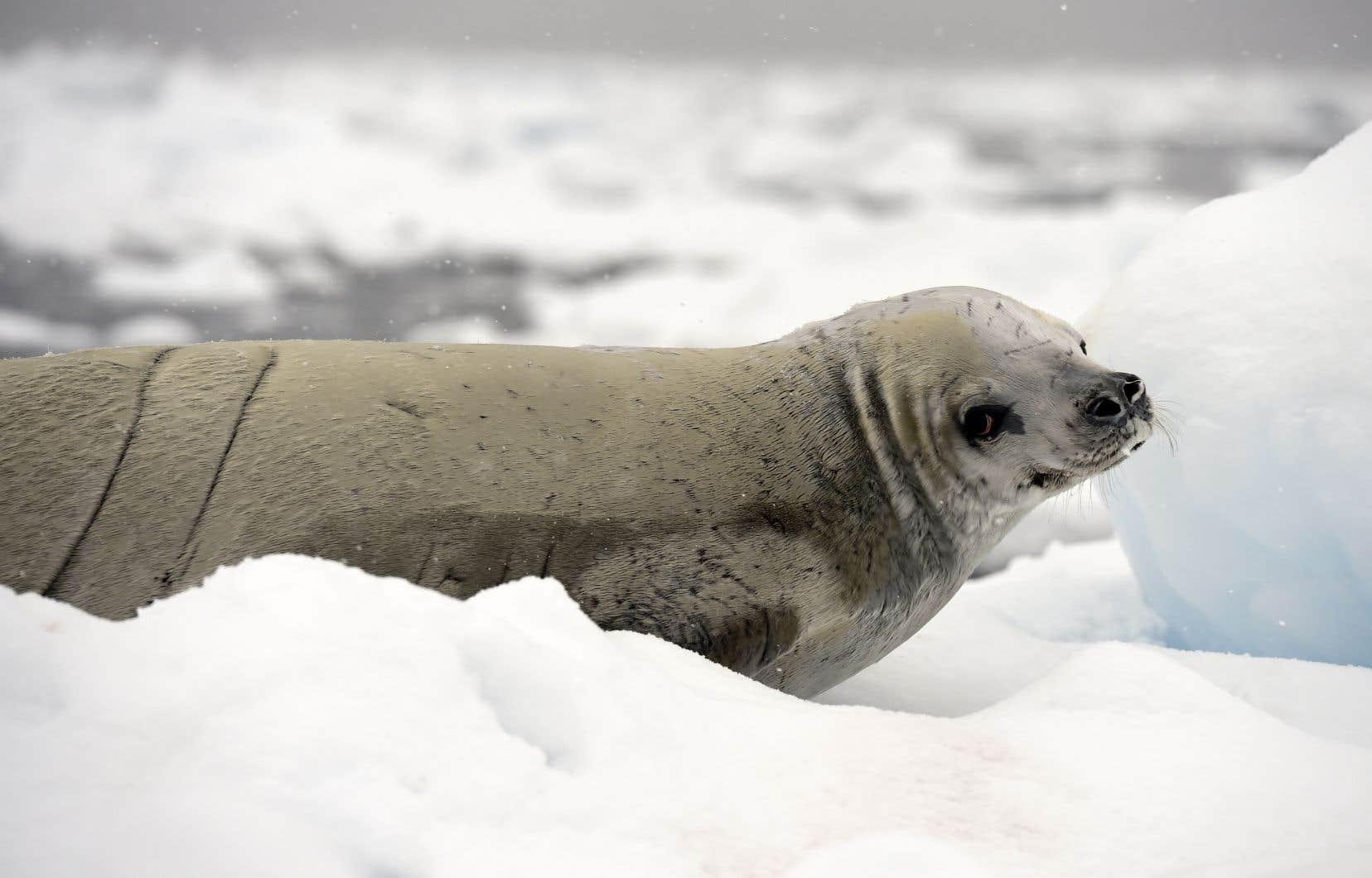 Les eaux de l'océan Austral autour de l'Antarctique abritent des écosystèmes exceptionnels, avec des milliers d'espèces animales, en bonne partie préservées des activités humaines.