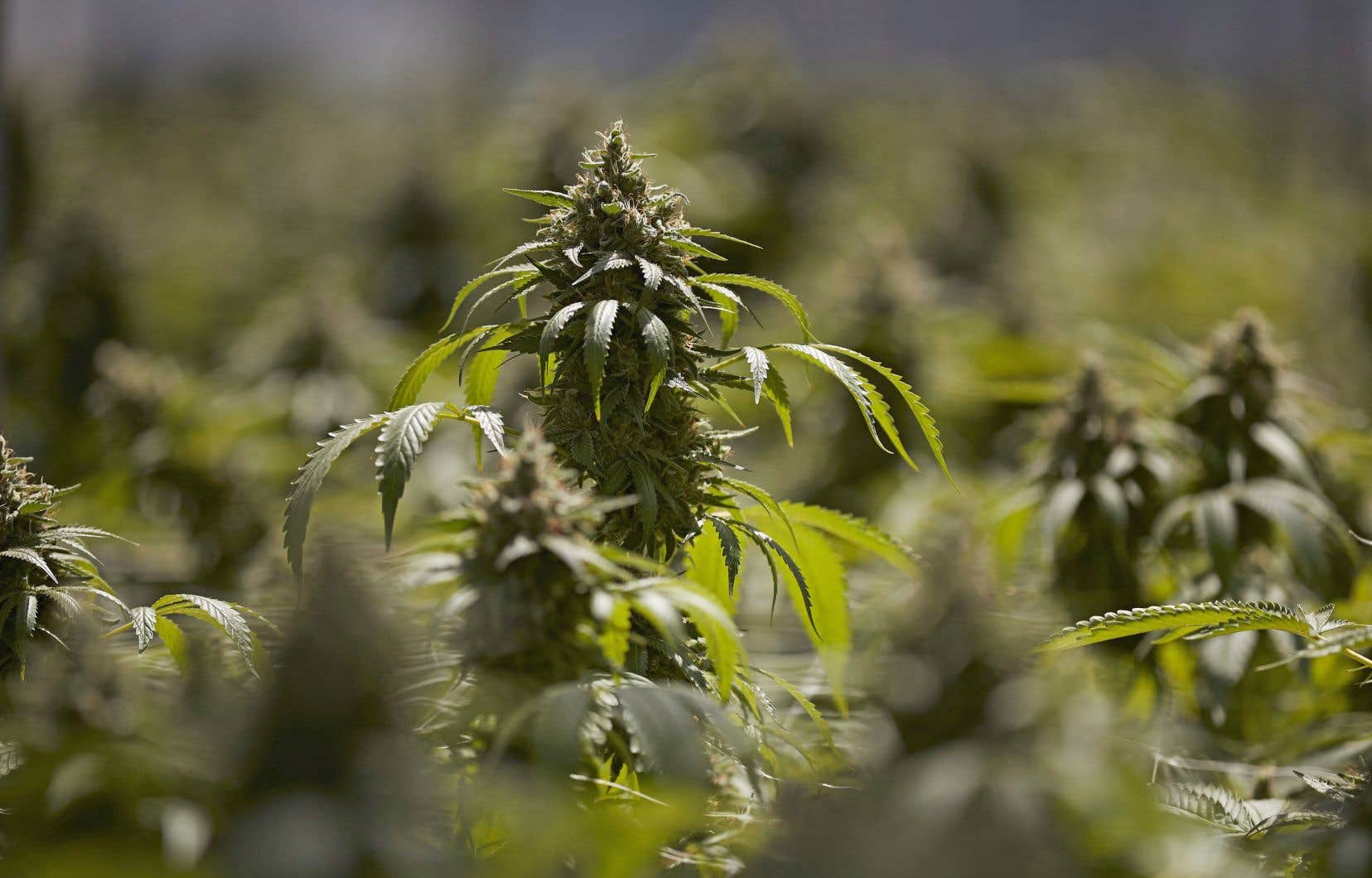Le Michigan et le Dakota du Nord profitent entre autres de ce tour de scrutin pour soumettre à leurs électeurs une proposition de légalisation du cannabis à des fins récréatives.