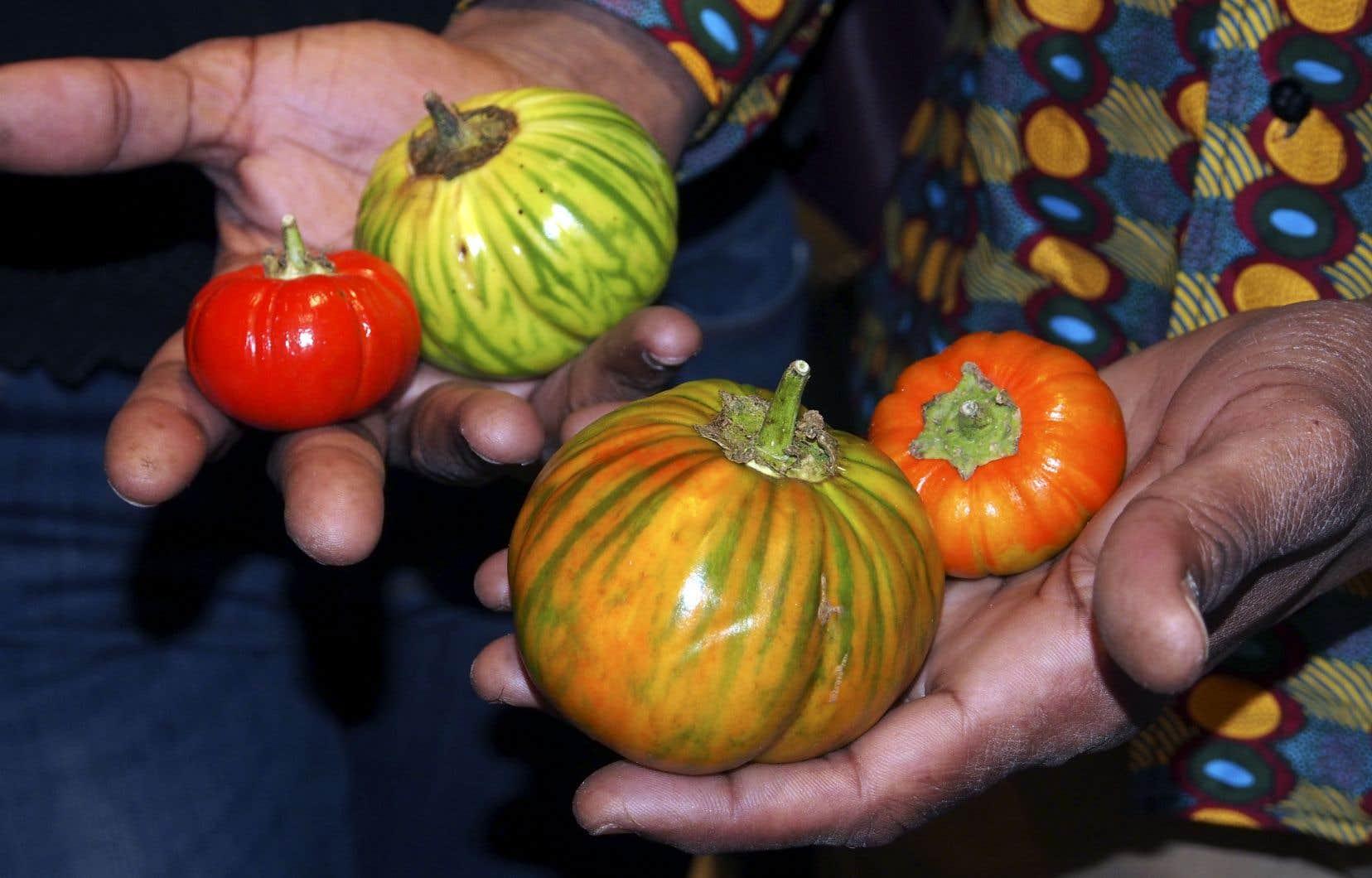 Les aubergines africaines sont de format moyen et de forme ronde, et elles sont soit vertes zébrées, soit d'un orange éclatant.