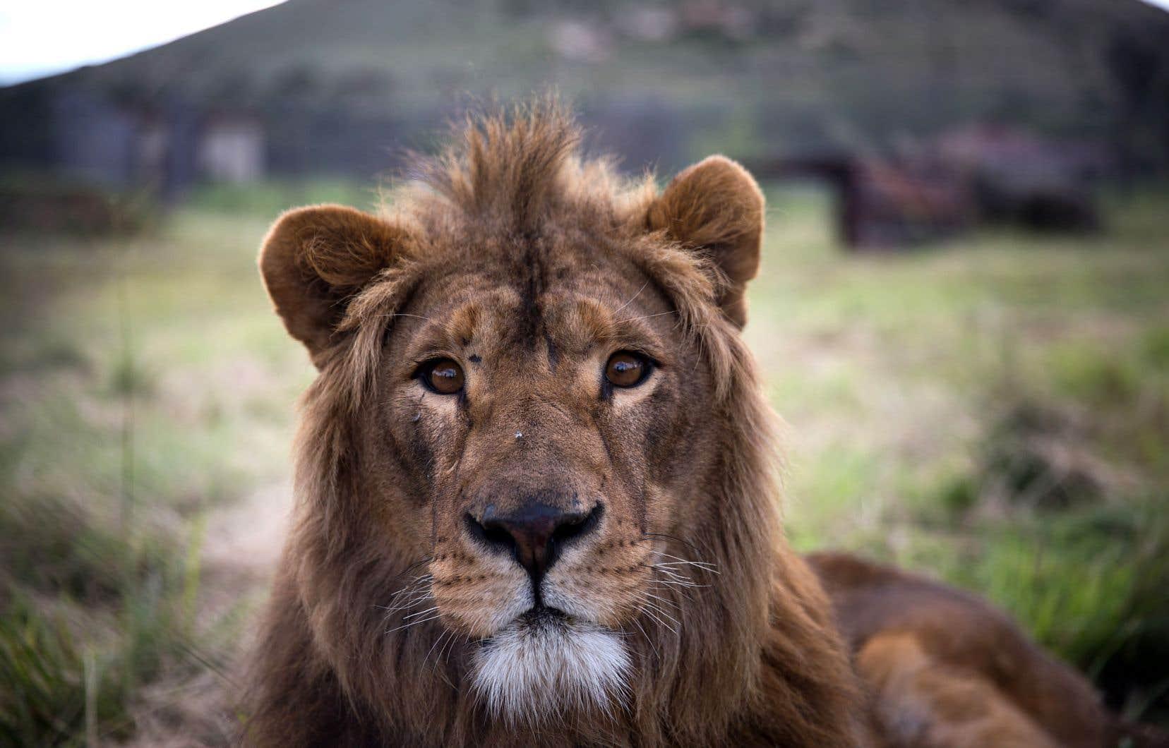 Les scientifiques ont, en général, tendance à étudier plus étroitement les populations vivant dans les écosystèmes menacés, ou à dénombrer les grands animaux qui souffrent le plus de la présence humaine, comme les lions.