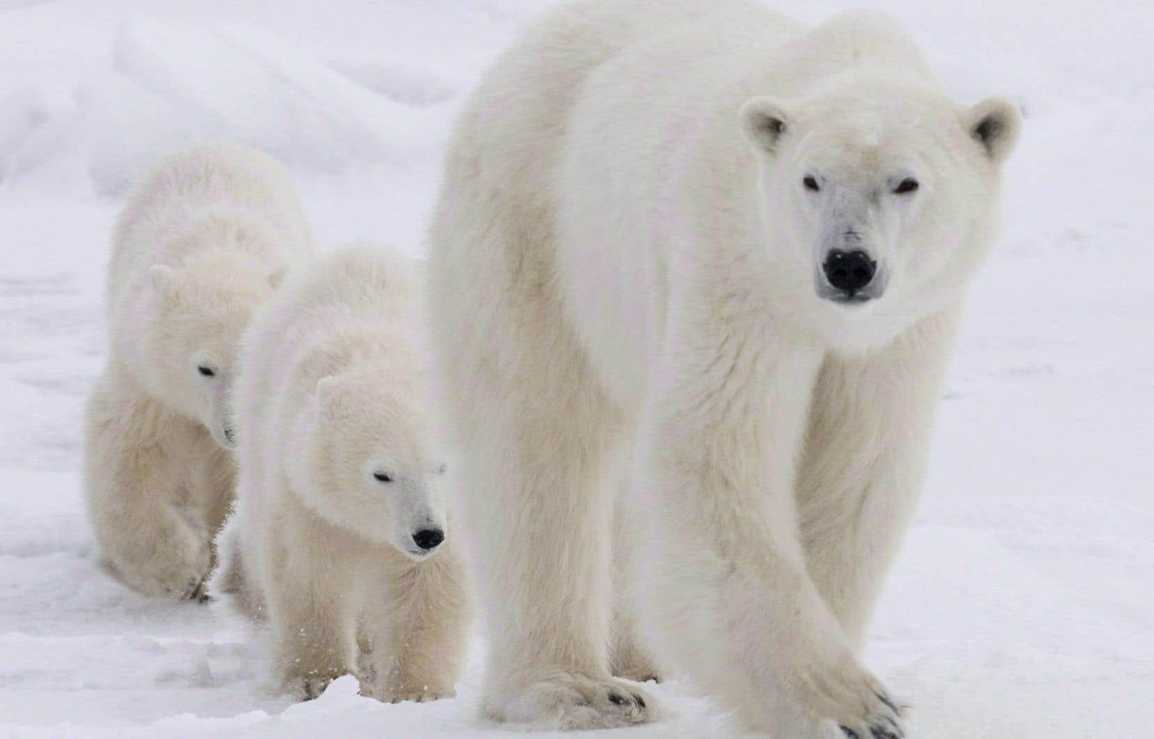 Les ours blancs bénéficient d'une relative protection en raison de leur statut d'espèce «préoccupante».