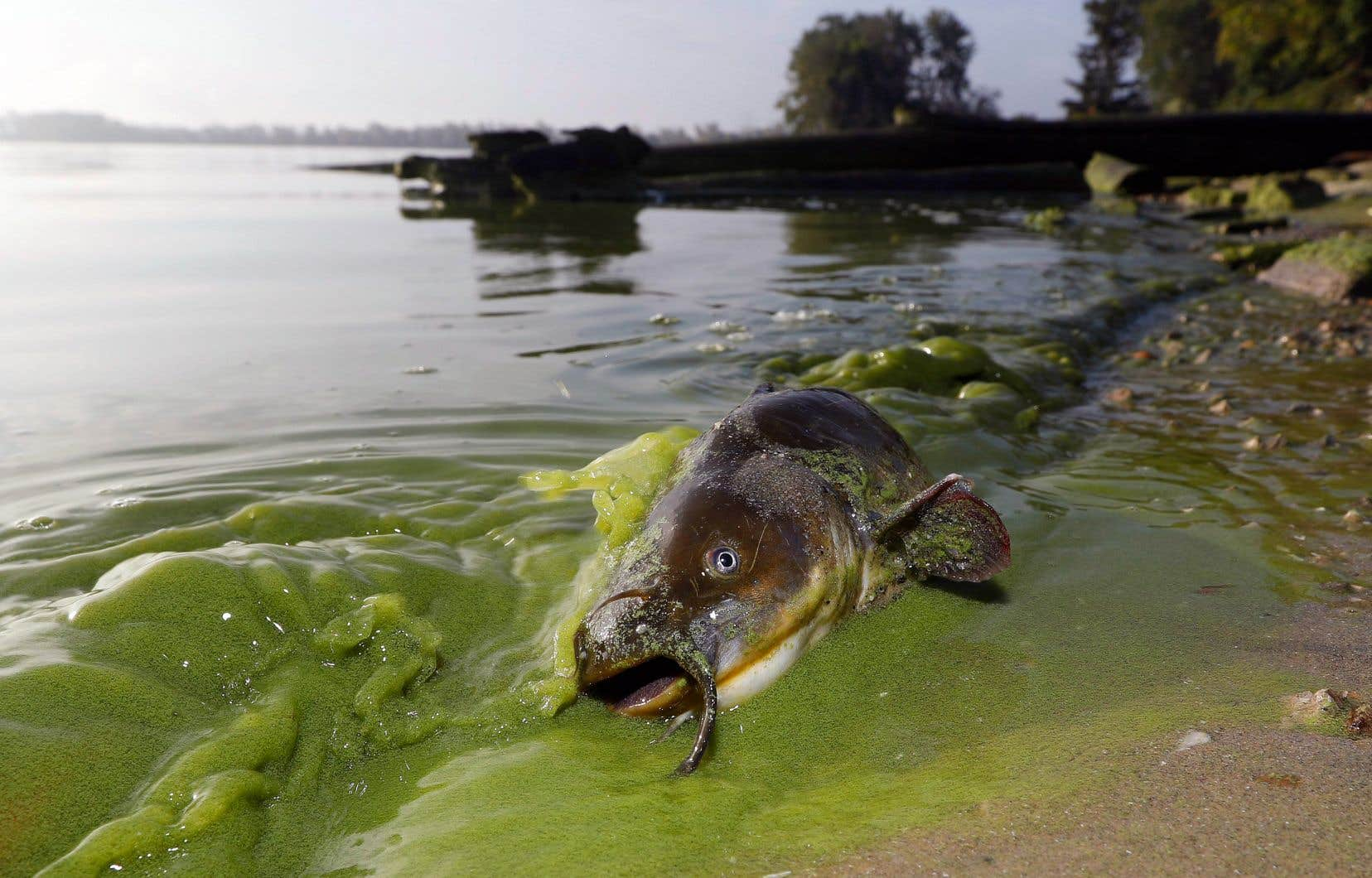 Parfois surnommé «Dead Sea of North America», le lac Érié est un exemple probant des conséquences de l'eutrophisation.