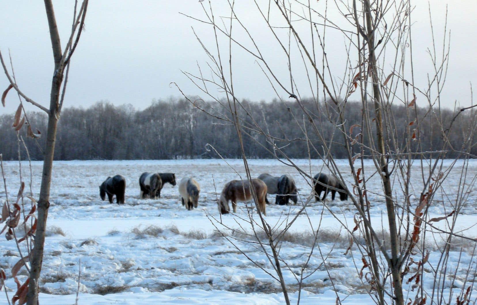 Un troupeau de chevaux yakoutes, mi-sauvages, broutent dans une prairie enneigée près de la route des os.