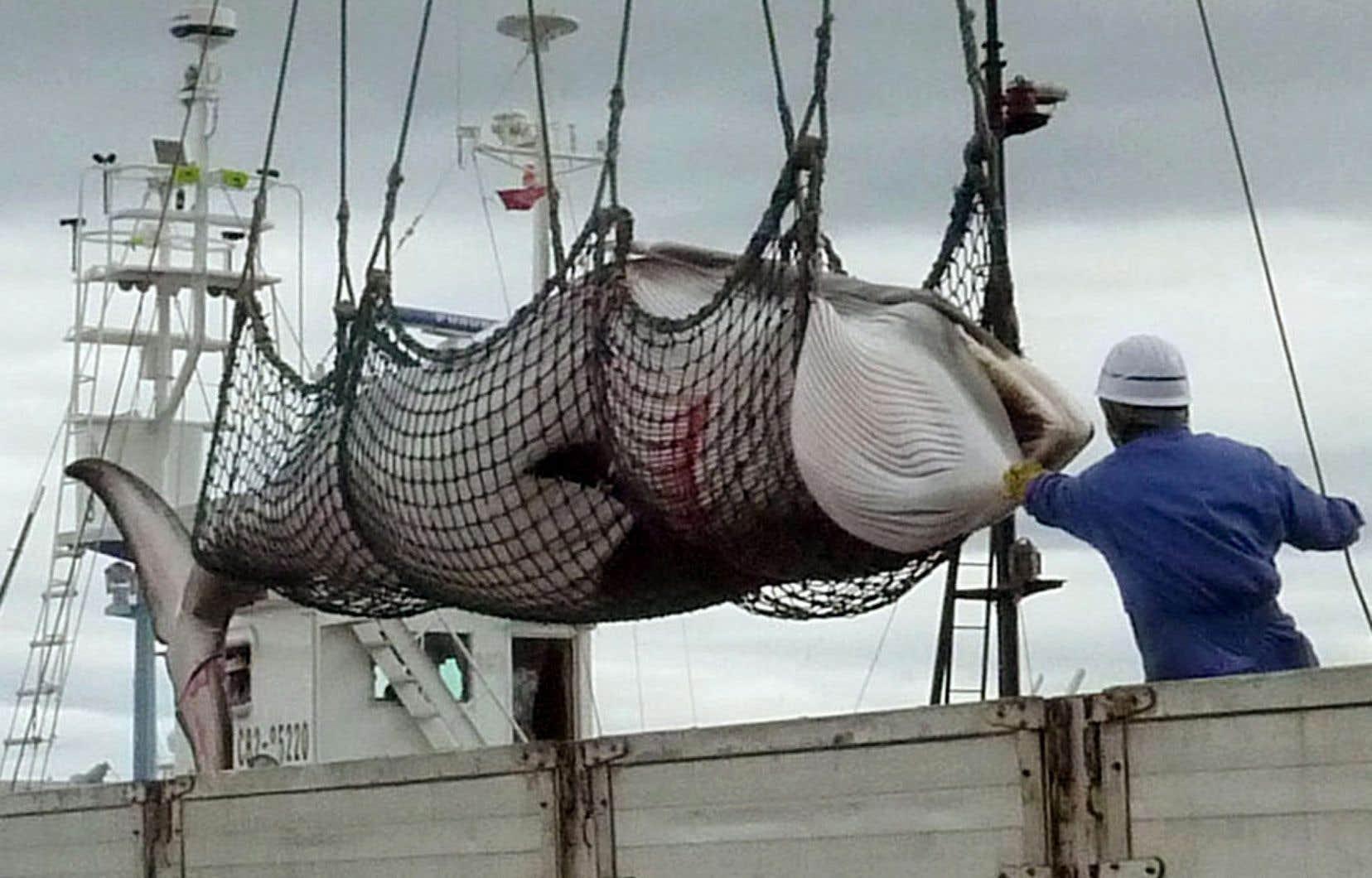 Le Japon mettra notamment fin à sa très controversée chasse dans l'Antarctique, où il menait des «chasses de recherche» depuis le moratoire imposé par la CBI en 2009.