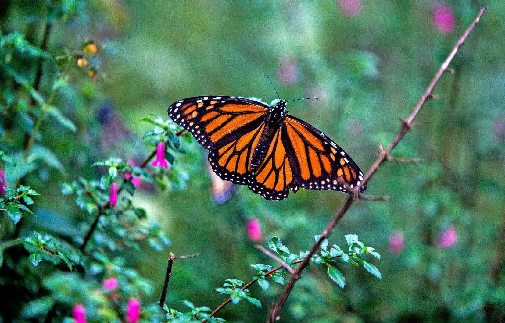 La majorité des papillons monarques de l'est de l'Amérique du Nord sont migrateurs. Certains individus ont toutefois élu domicile dans le sud des États-Unis, où ils forment de petites colonies isolées.