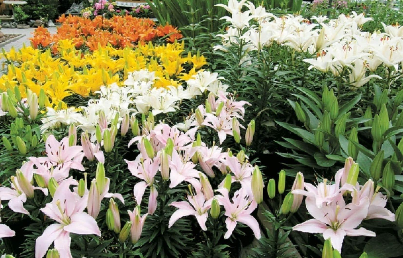 Les lys hybrides de la série Tiny. Les lys aiment les sols maintenus humides, mais non détrempés, et adorent être baignés de soleil. <br />