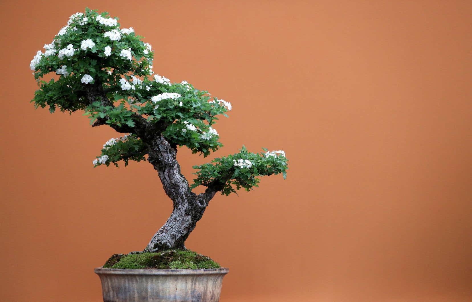 Au total, sept bonsaïs d'une valeur estimée globalement à plus de 7 millions de yens ont été subtilisés à M. Iimura le mois dernier.