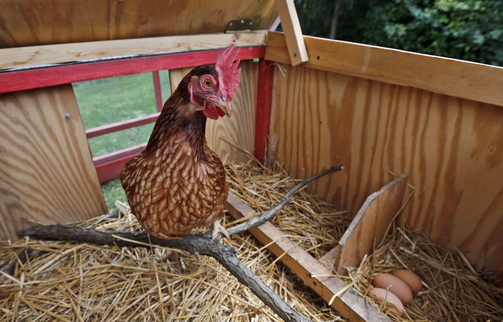 Les petits élevages urbains de poules pondeuses et d'abeilles seront bientôt permis à Gatineau.