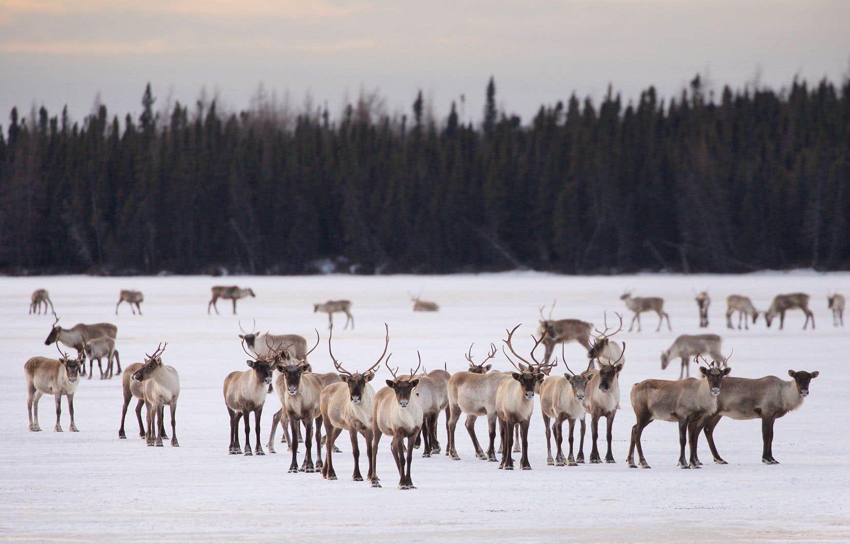 Les caribous forestiers font partie d'une espèce considérée comme «menacée» de disparition depuis déjà plus de 15ans.
