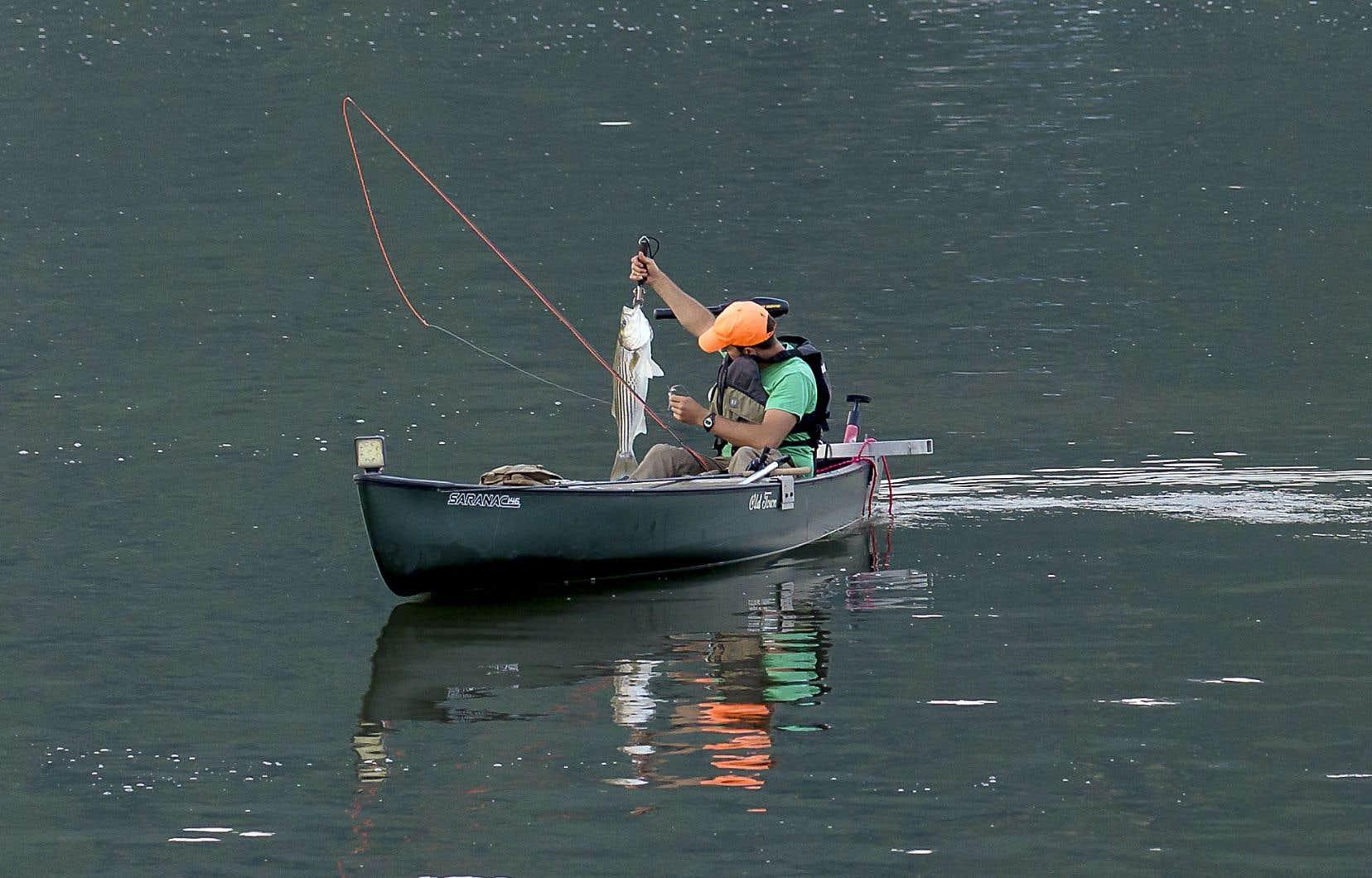 Le bar rayé, que l'on aperçoit ici, a été réintroduit dans les eaux du Saint-Laurent, mais il s'agit toujours d'une espèce en voie de disparition.