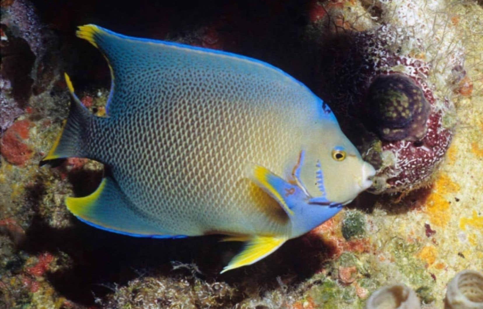Le poisson-ange royal fait partie des 15 000 espèces marines du golfe du Mexique. La faune marine de la région a fait l'objet d'une étude scientifique juste avant le naufrage de la plateforme pétrolière. <br />