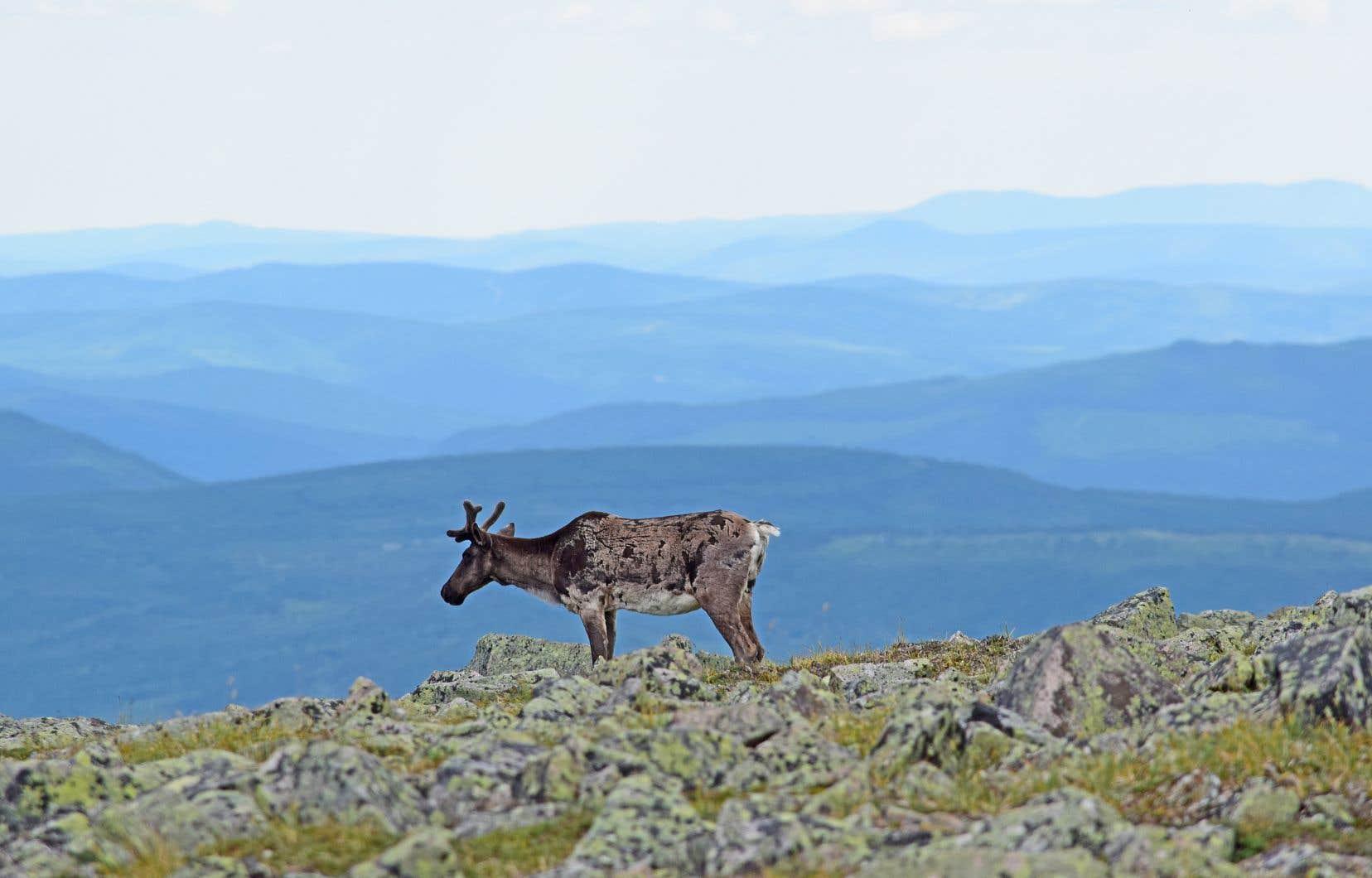 Le béluga, le caribou (sur la photo), le monarque et l'ours polaire font partie au Canada des espèces menacées d'extinction.