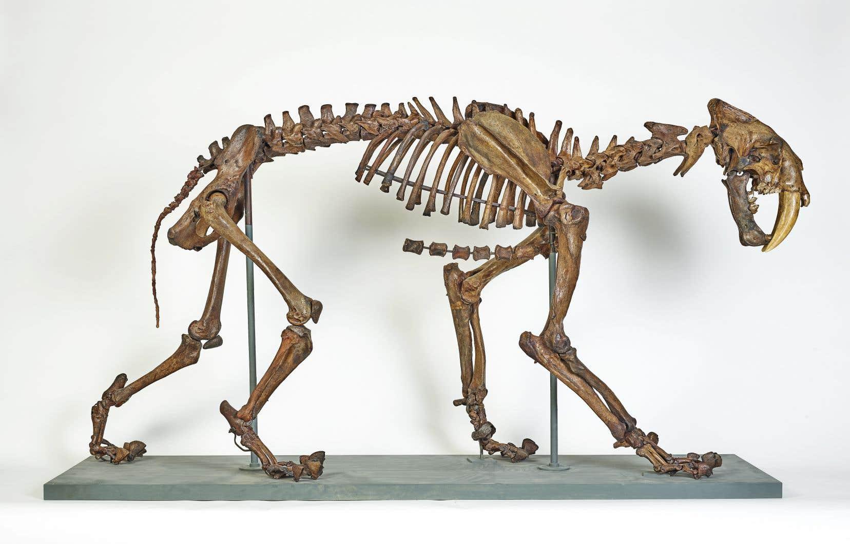 L'exposition «Curiosités du monde naturel»comprend le squelette d'un tigre à dents de sabre.