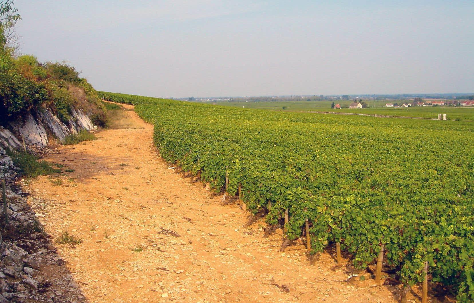 Le mystère bourguignon: très faible pente, expositions variées, sols hétérogènes. Ici, une parcelle beaunoise.