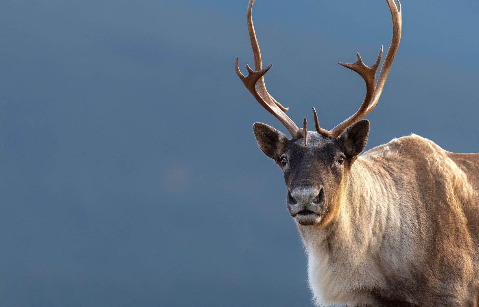 Les provinces, dont le Québec, n'en font pas assez pour freiner le déclin continu du caribou forestier.