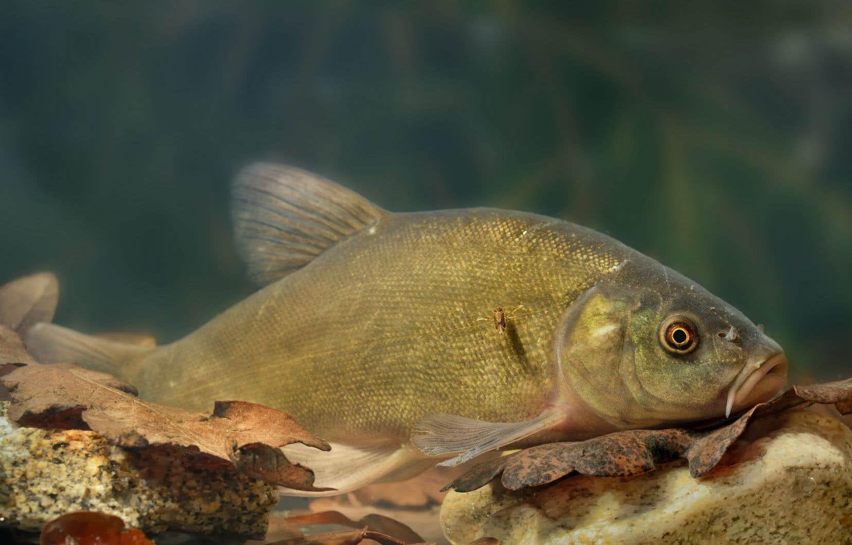 Contrairement à la majorité des espèces, la tanche a d'abord envahi le fleuve Saint-Laurent.<br />