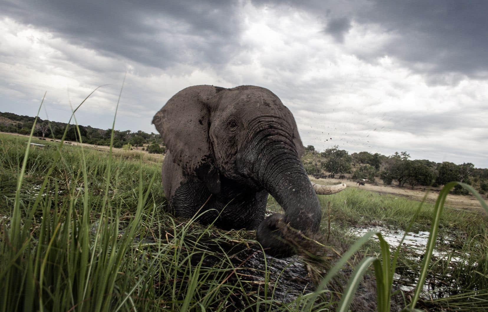Un éléphanteau s'amuse dans une rivière du parc national de Chobe, dans le nord du Botswana.