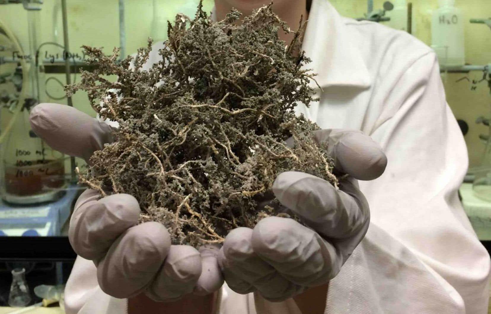Un spécimen de lichen «Stereocaulon paschale»