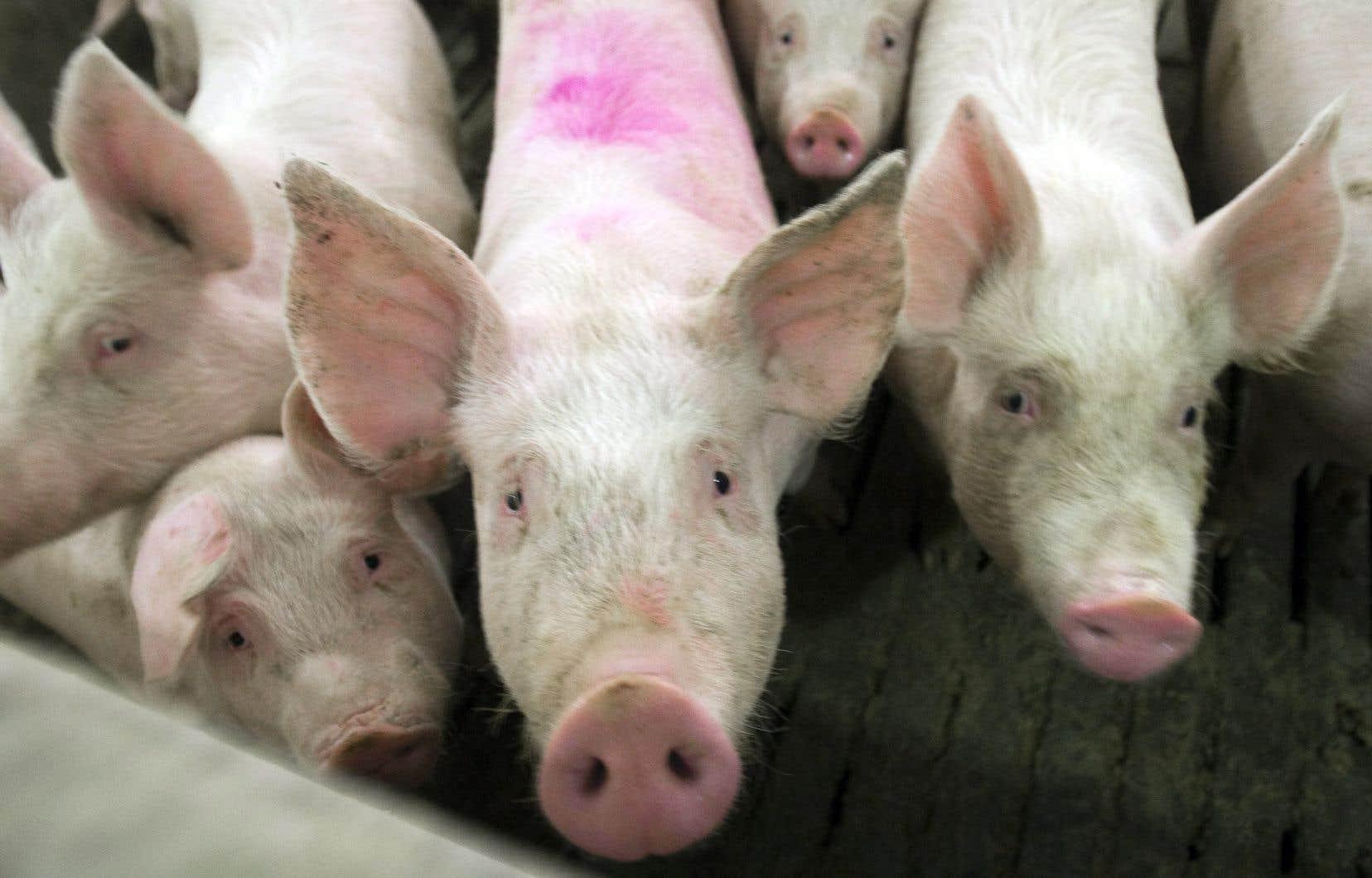 La Chine a importé 151millions de tonnes de porc québécois en 2018, soit un peu plus que les États-Unis (145millions de tonnes), selon Les éleveurs de porcs du Québec.