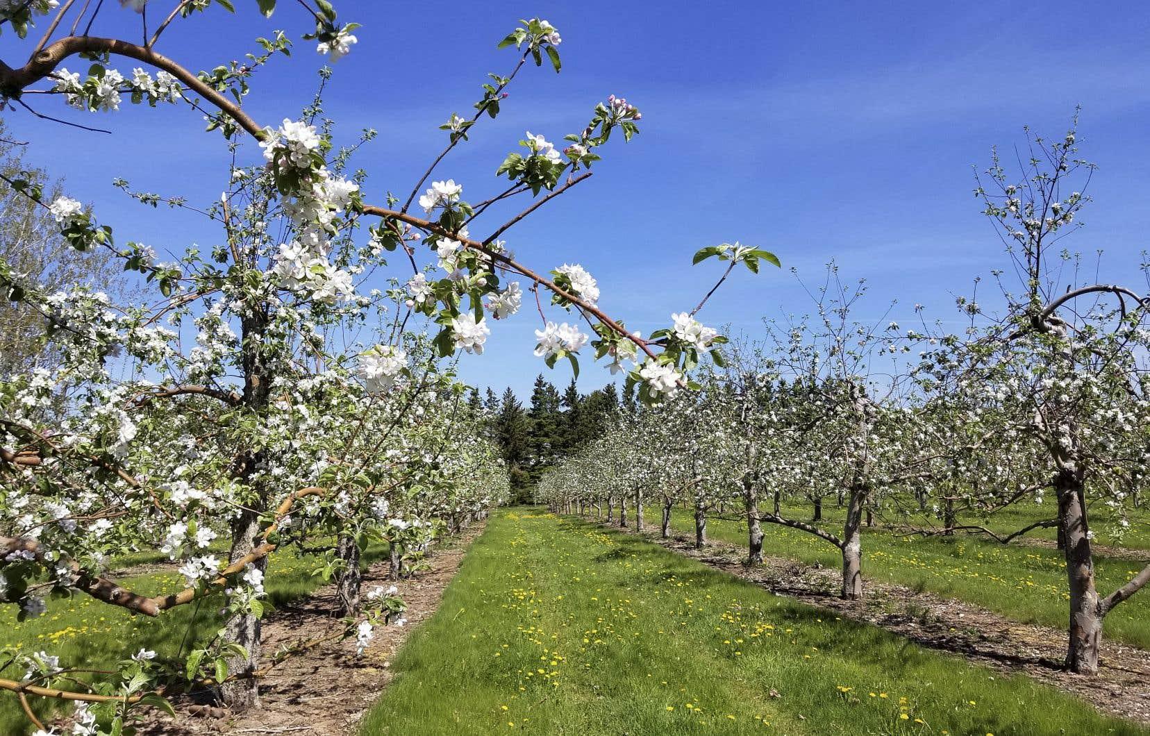 Le verger Belliveau compte 70 000 pommiers, dont plusieurs variétés de pommes ancestrales.
