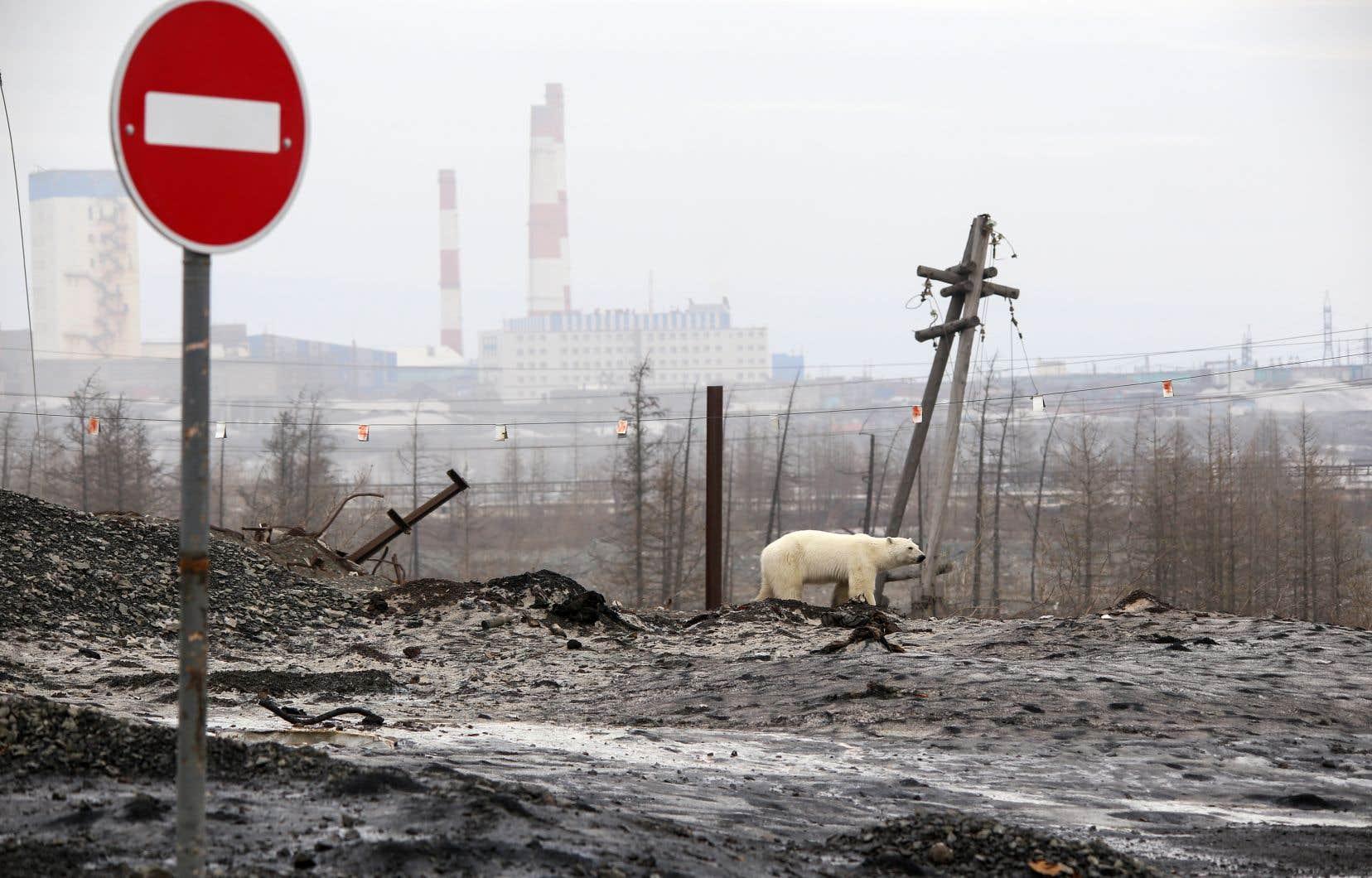 Il est rare que les habitants de Norilsk repèrent un ours blanc à plusieurs centaines de kilomètres de la banquise.