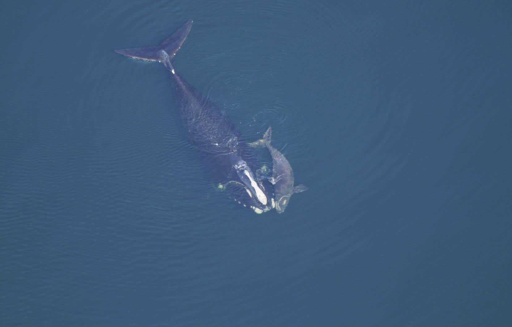 Sur la photo, une baleine noire et son baleineau à l'Aquarium de la Nouvelle-Angleterre