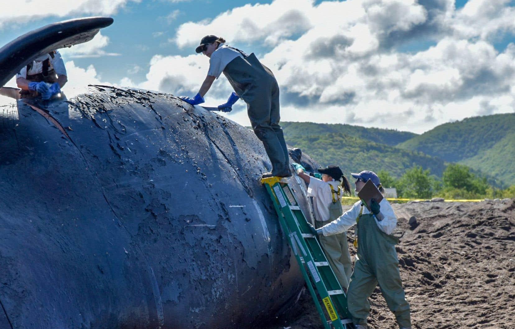 La baleine Punctuation a elle aussi été tuée par une collision avec un navire.