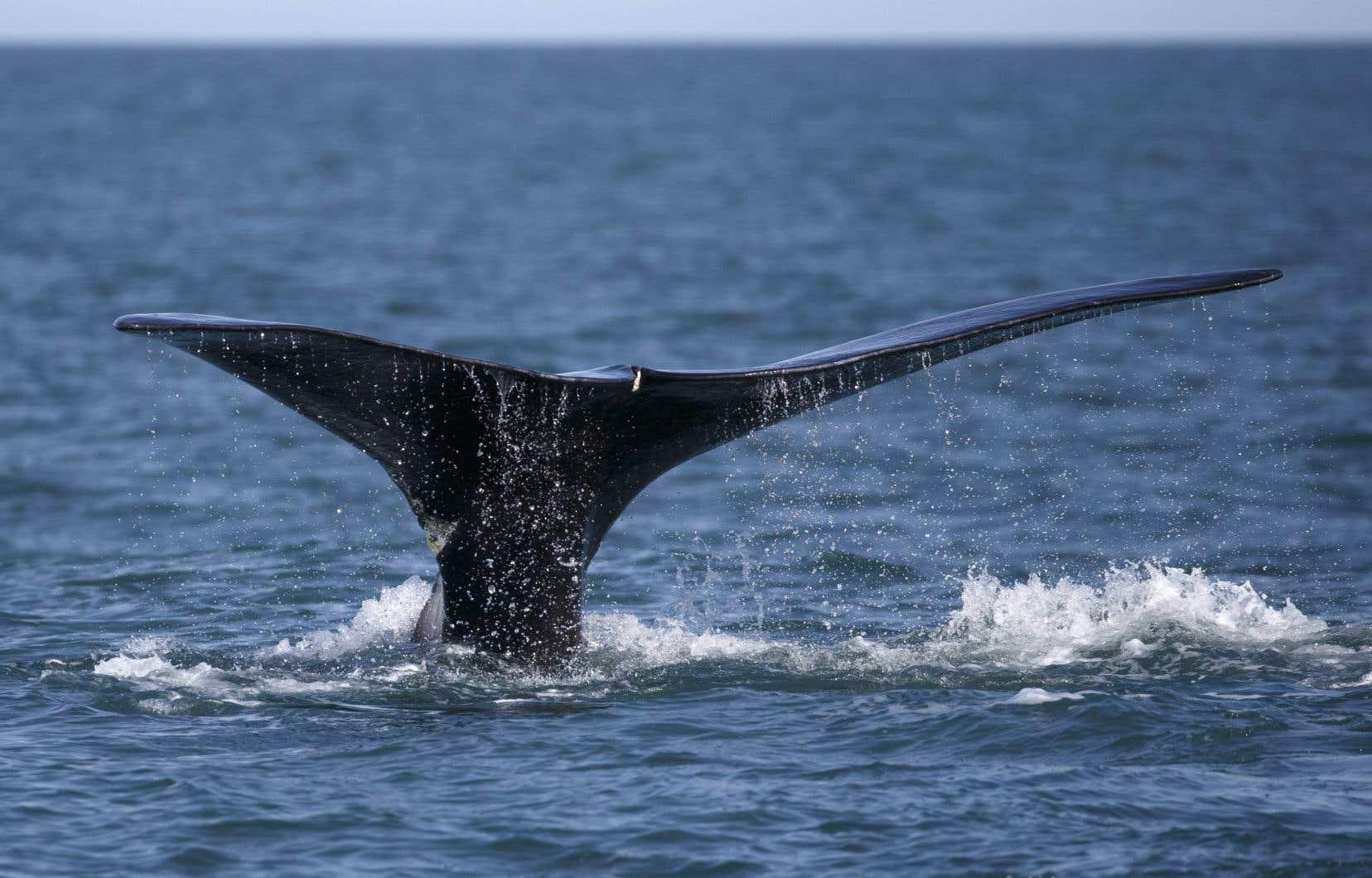 Il ne resterait environ que 400 baleines noires dans le monde.