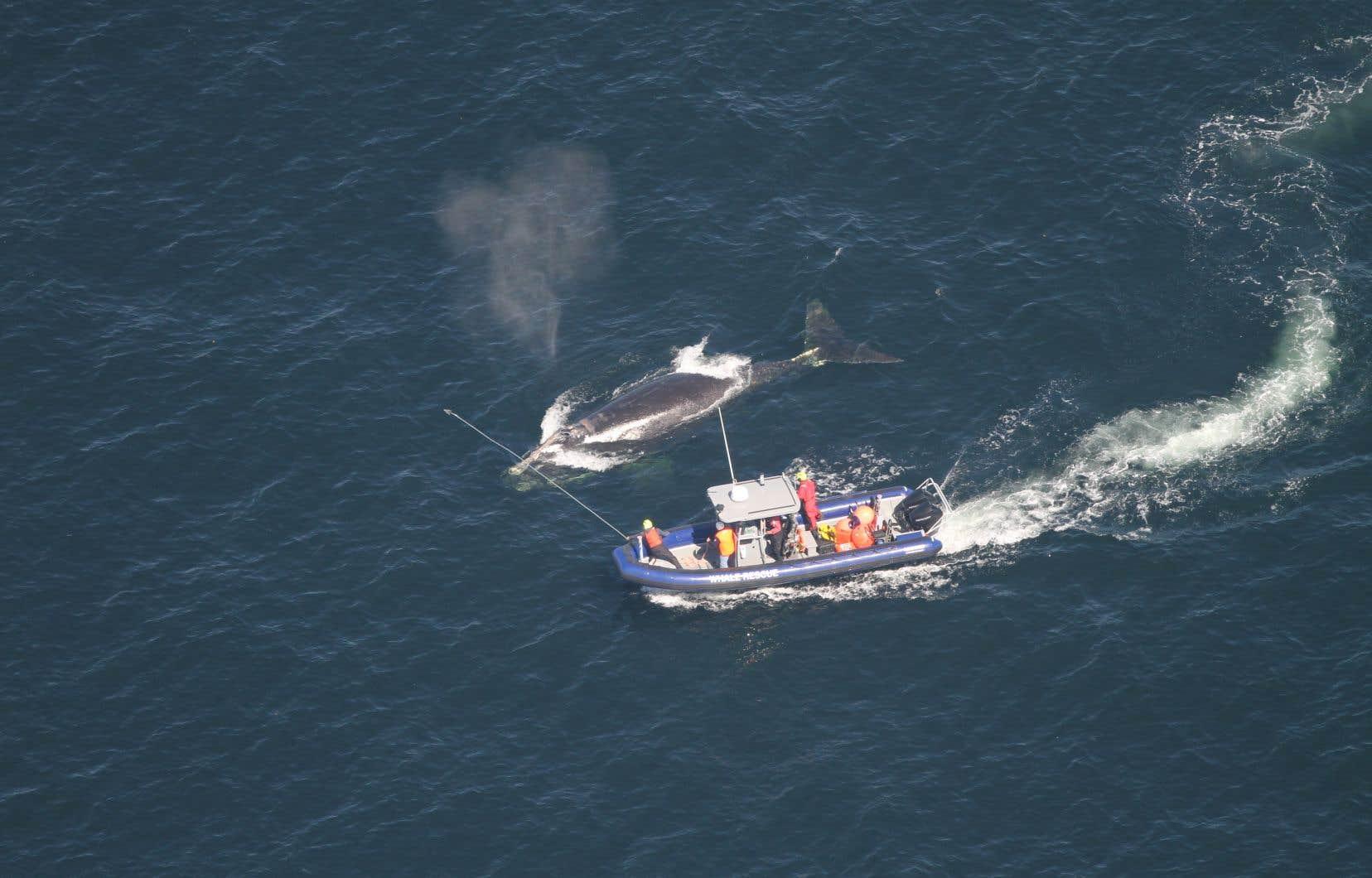 Pêches et Océans Canada indique que grâce à une embellie mardi, ses agents ont «fait du progrès» pour libérer deux des trois baleines empêtrées dans des filets.