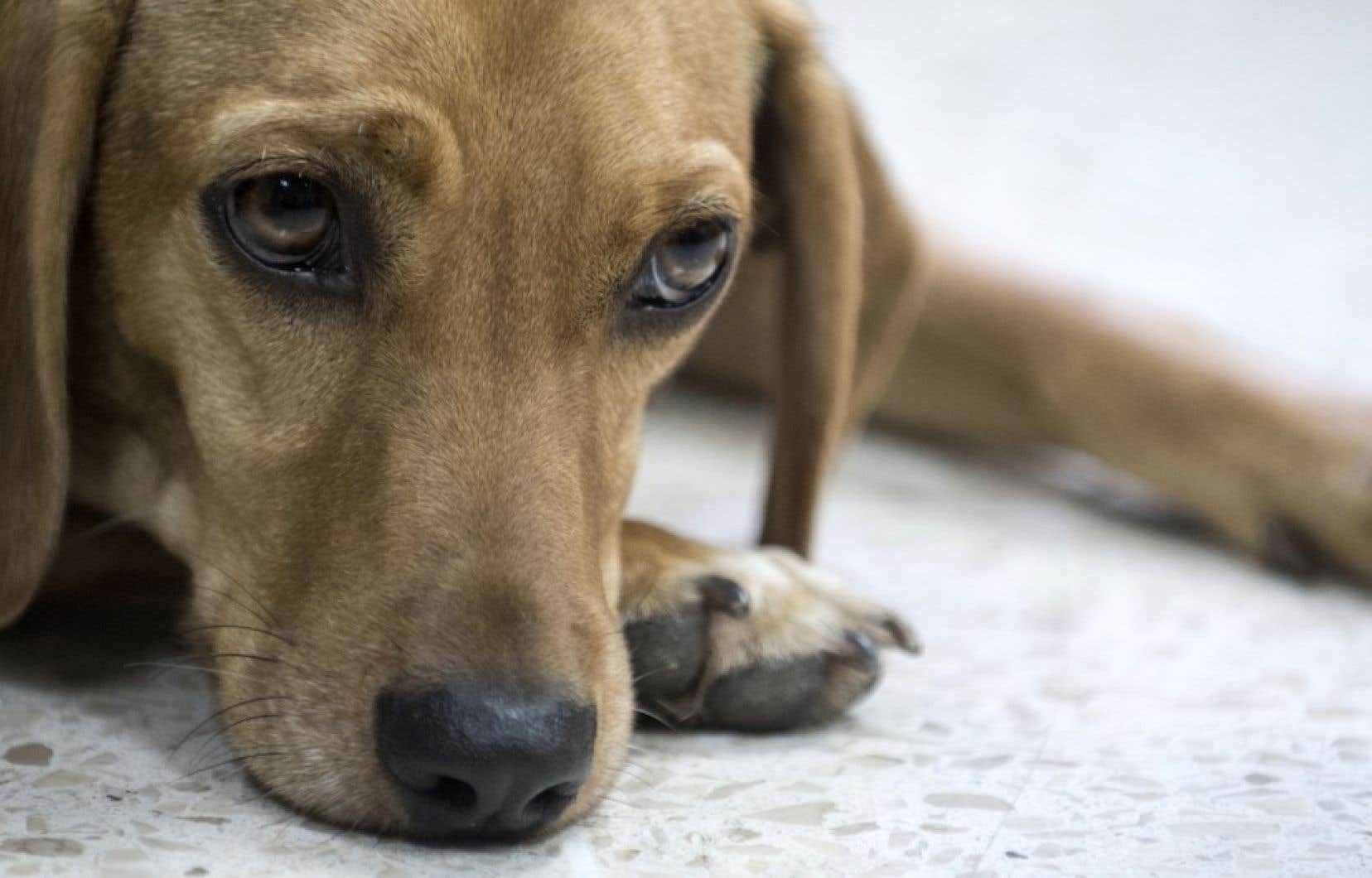 Le chien ayant subi des maltraitances semble aujourd'hui tout à fait remis, à l'exception qu'il ne supporte pas les colliers.