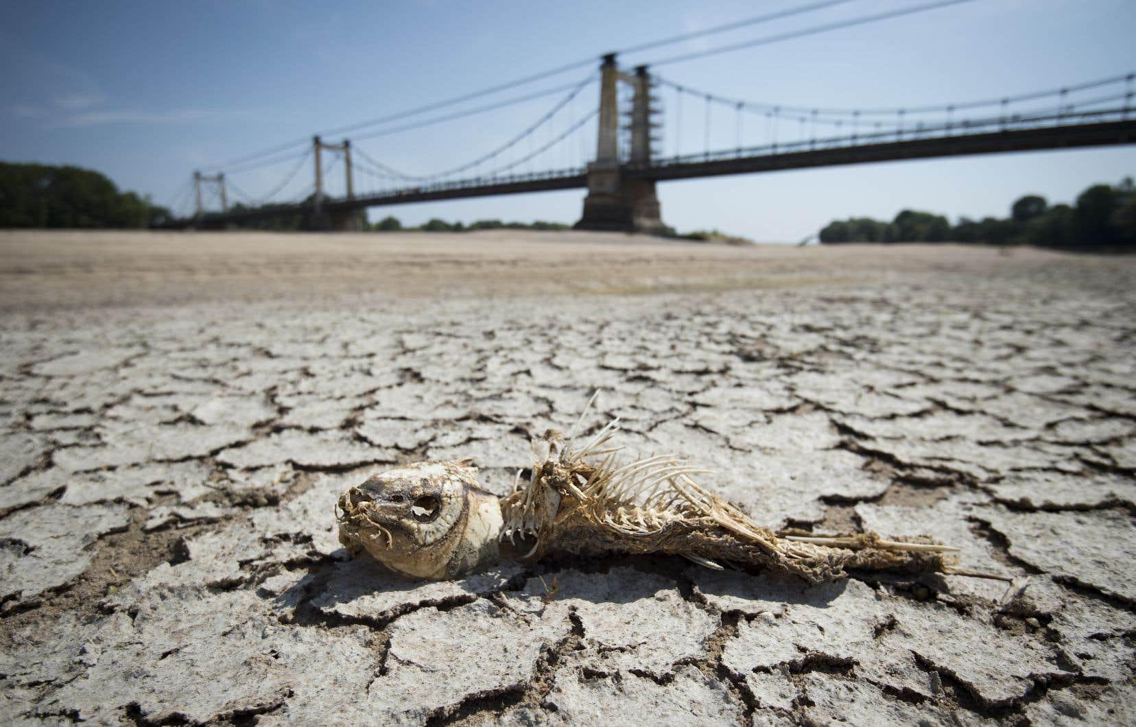 Le squelette d'un poisson gît sur le lit desséché de la Loire dans l'ouest de la France, conséquence d'une canicule historique en Europe.