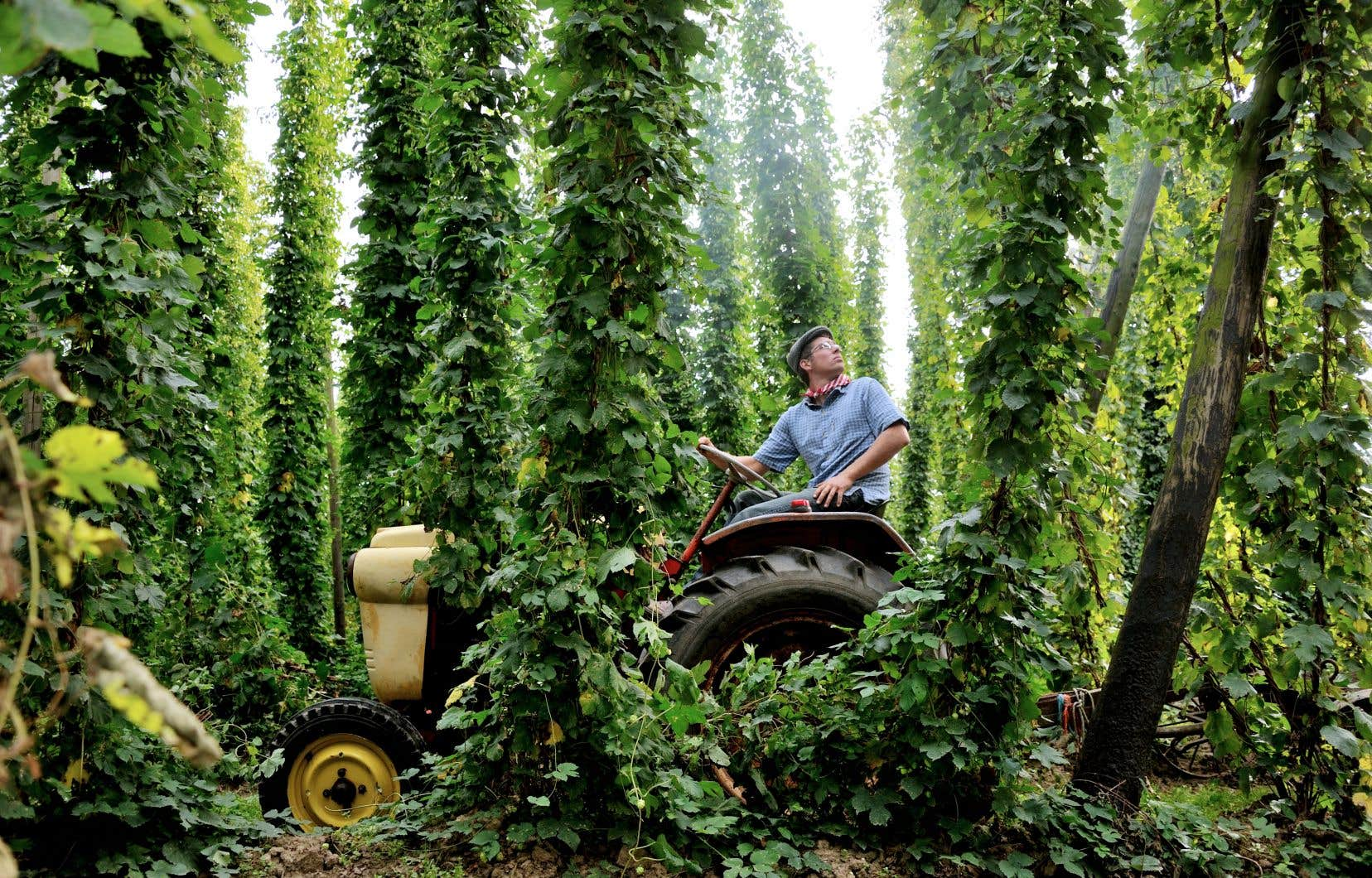 Un cultivateur de houblon près de la ville de Bailleul, au nord de la France. En 2018, 18,8% des emplois de l'agroalimentaire en France ont été créés par les brasseries, signe de l'engouement grandissant pour la bière et de la croissance de sa production au pays.