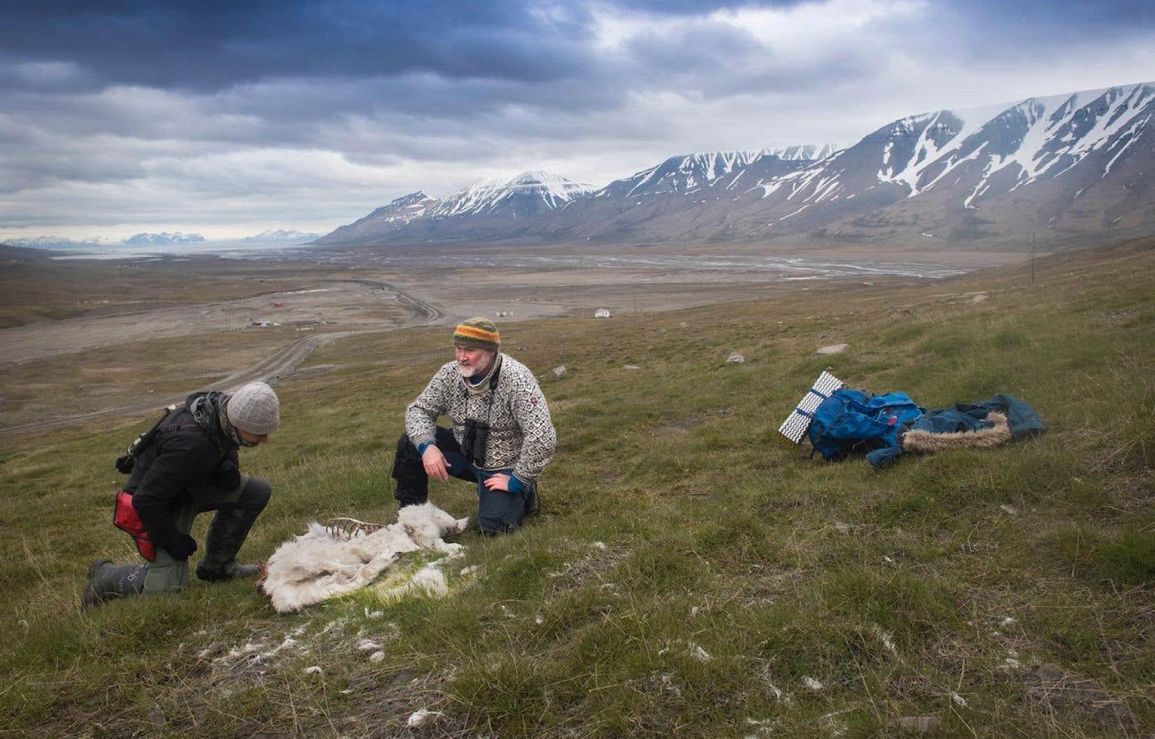 Selon l'Institut polaire norvégien, le nombre de rennes au Svalbard, territoire grand comme deux fois la Belgique, a doublé depuis les années 1980 pour atteindre aujourd'hui environ 22000 têtes.