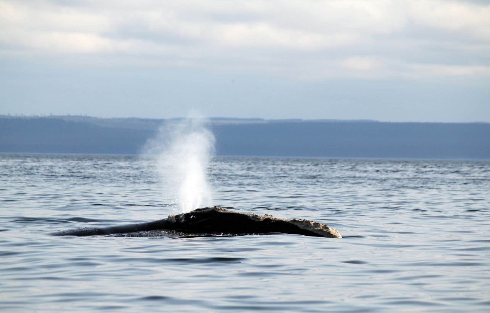 <p>Jusqu'à présent, quatre baleines ont été trouvées empêtrées dans des cordes au cours du dernier mois.</p>