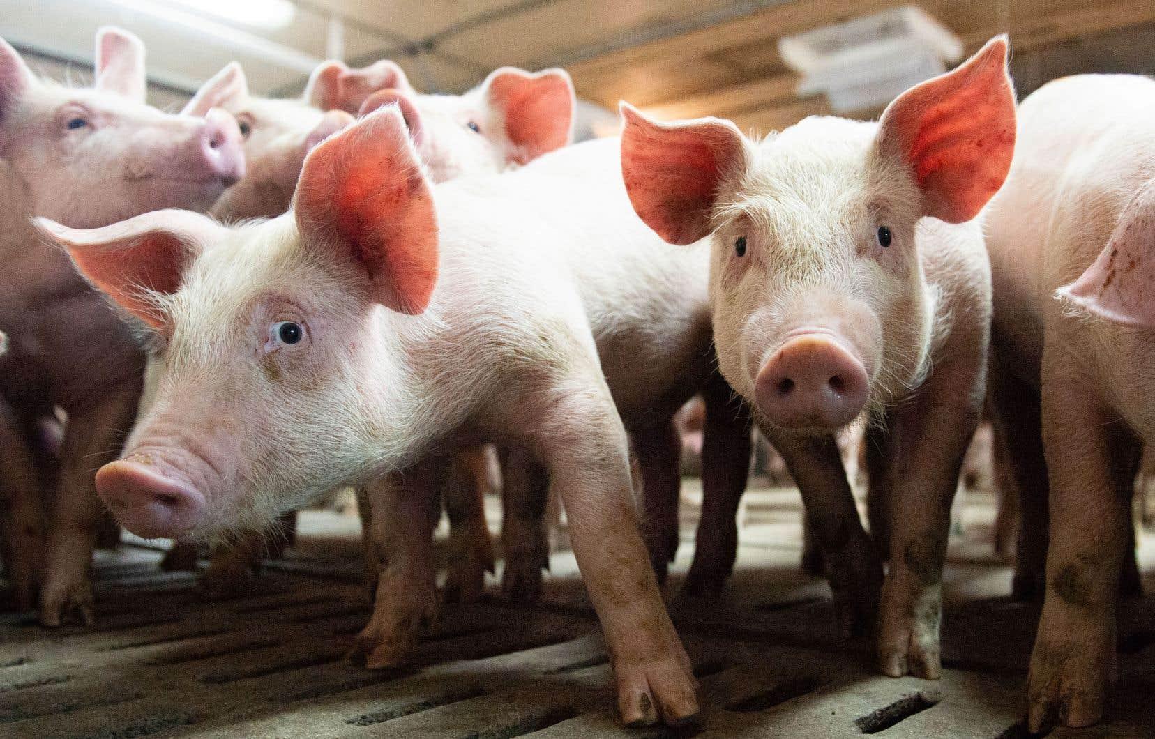 Porcs: l'aide d'Ottawa jugée insuffisante par les producteurs ...