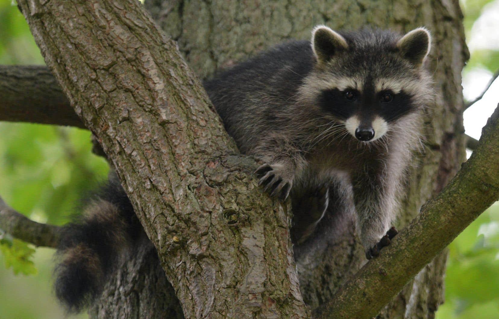 Les animaux deviennent immunisés contre la rage lorsqu'ils croquent dans l'appât et consomment le liquide vaccinal qu'il contient.