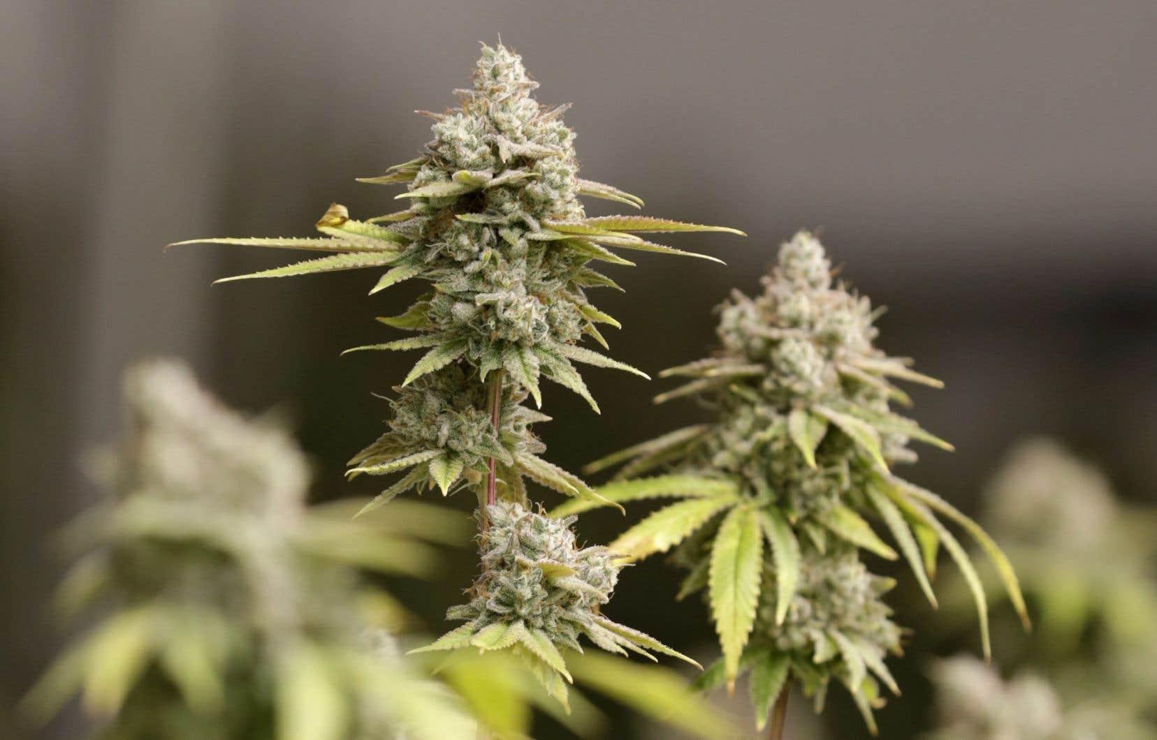 Actuellement, deux molécules issues du cannabis occupent la professeure Desgagné-Penix, experte mondiale dans le métabolisme des plantes: le THC, connu pour ses effets psychoactifs, et le CBD, utilisé comme antidouleur.