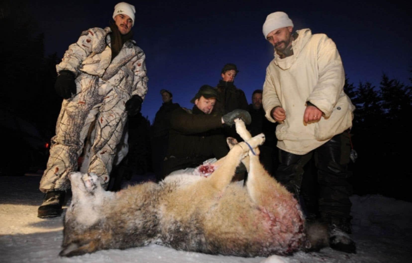 La chasse au loup a été rouverte en Suède, après avoir été interdite durant 45 ans.<br />
