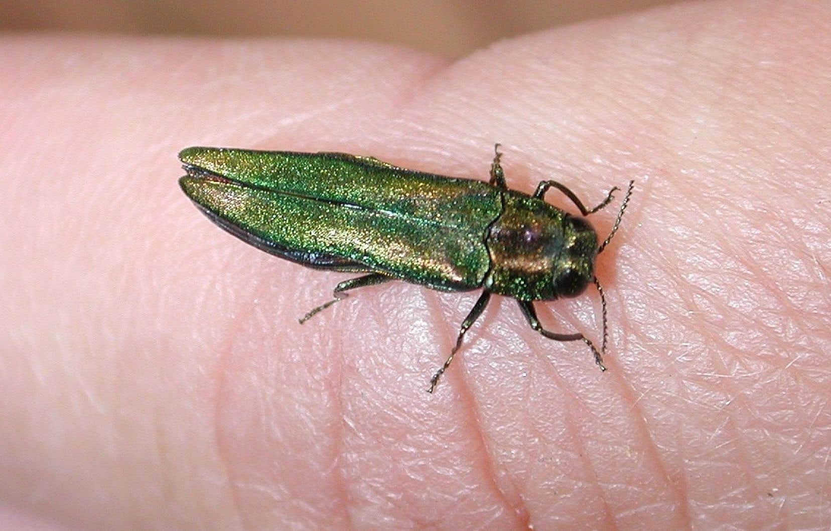 L'agrile du frêne est un insecte coléoptère envahissant qui a causé la mort de millions d'arbres en Amérique du Nord depuis 2002.