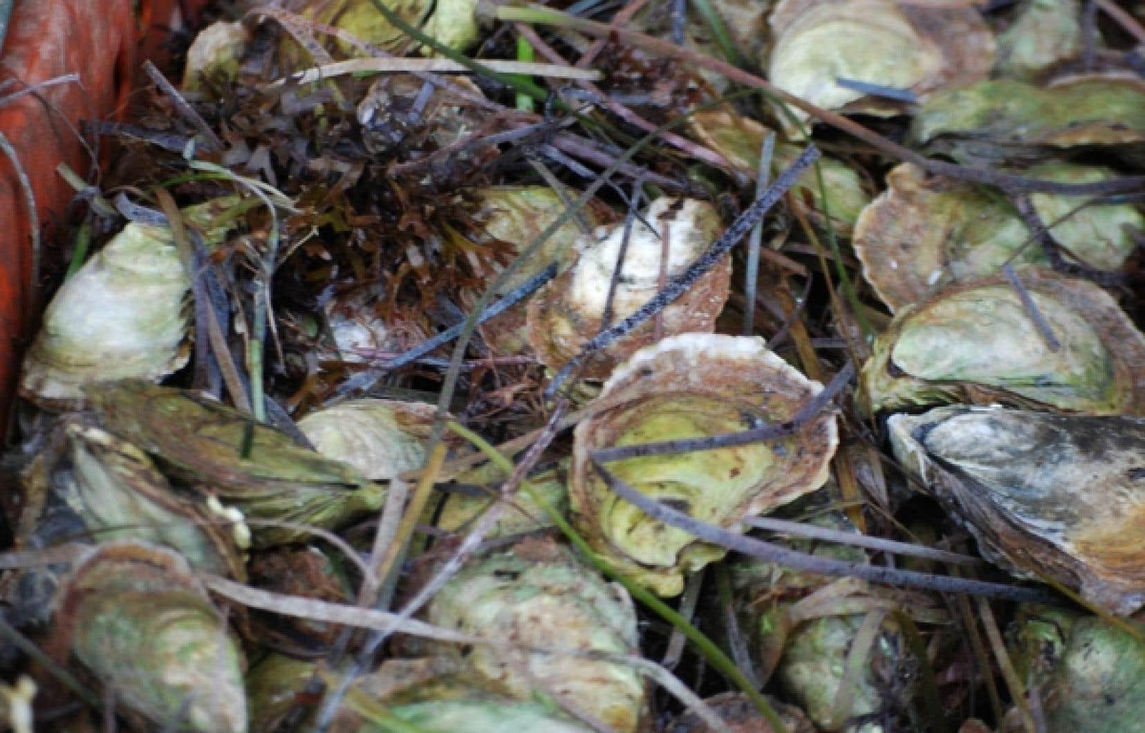 Les hu&icirc;tres de la baie de Colville sont particuli&egrave;rement go&ucirc;teuses. Elles sont cultiv&eacute;es en eau claire et ramass&eacute;es de fa&ccedil;on traditionnelle, au r&acirc;teau.<br />