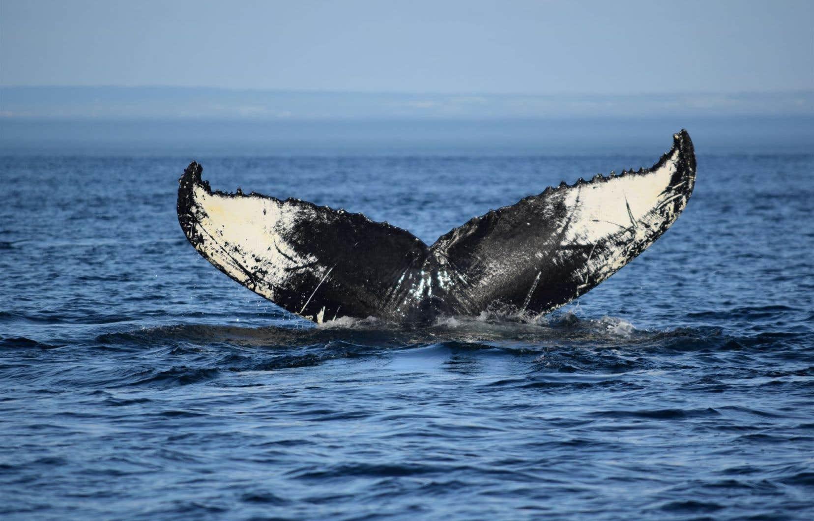 «Accroître la protection des baleines [face aux] dangers posés par l'activité humaine fournira des bénéfices» climatiques bien concrets, selon le FMI.