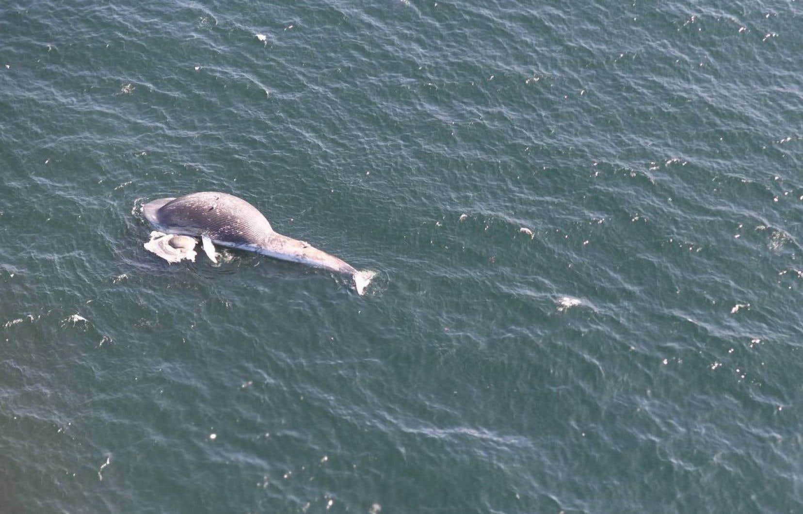 Pêches et Océans Canada a confirmé mardi qu'un deuxième rorqual bleu avait été trouvé mort dans le golfe du Saint-Laurent le mois dernier.