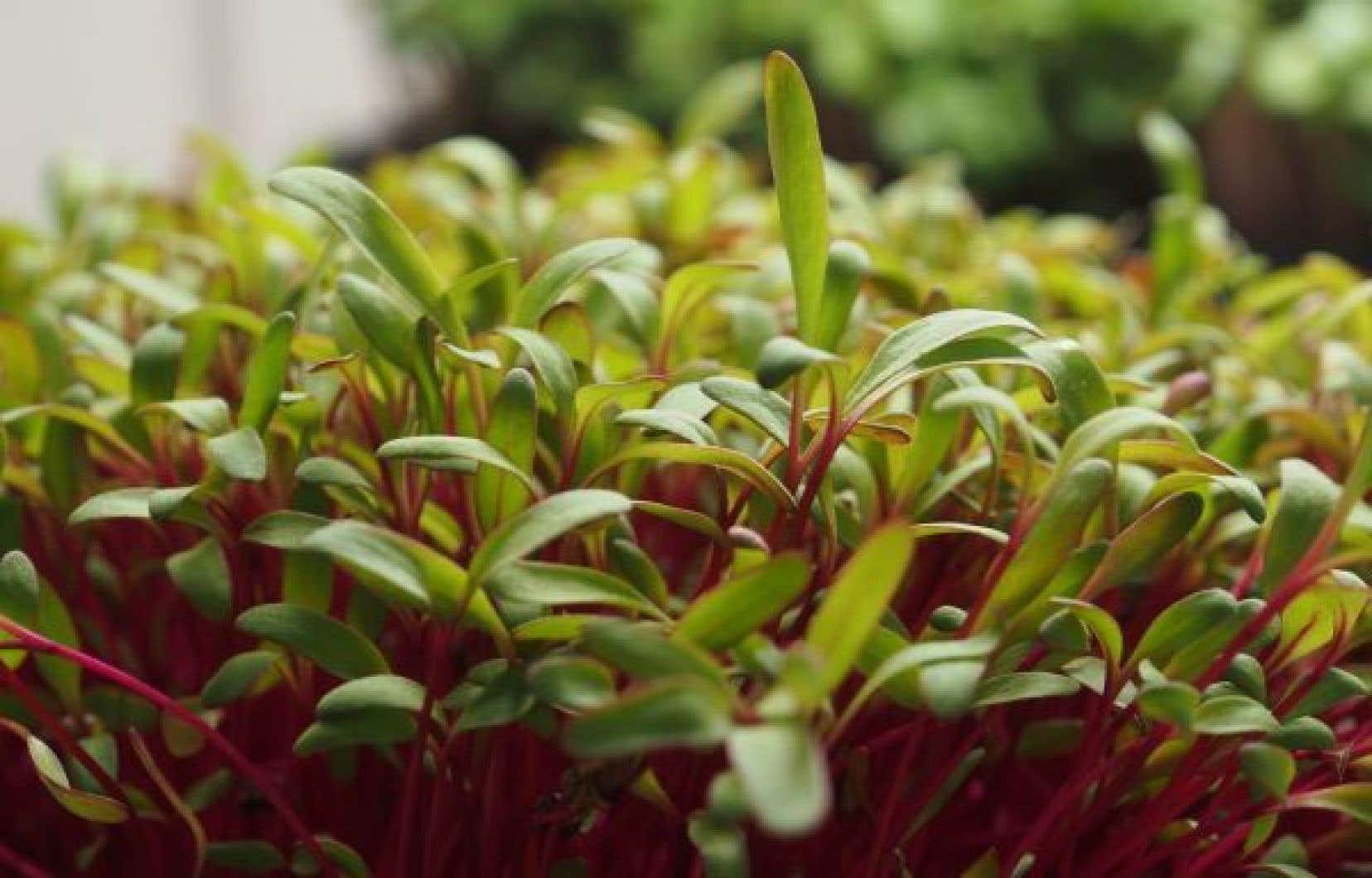 Micropousses de betteraves dont le goût est un concentré de celui de la plante