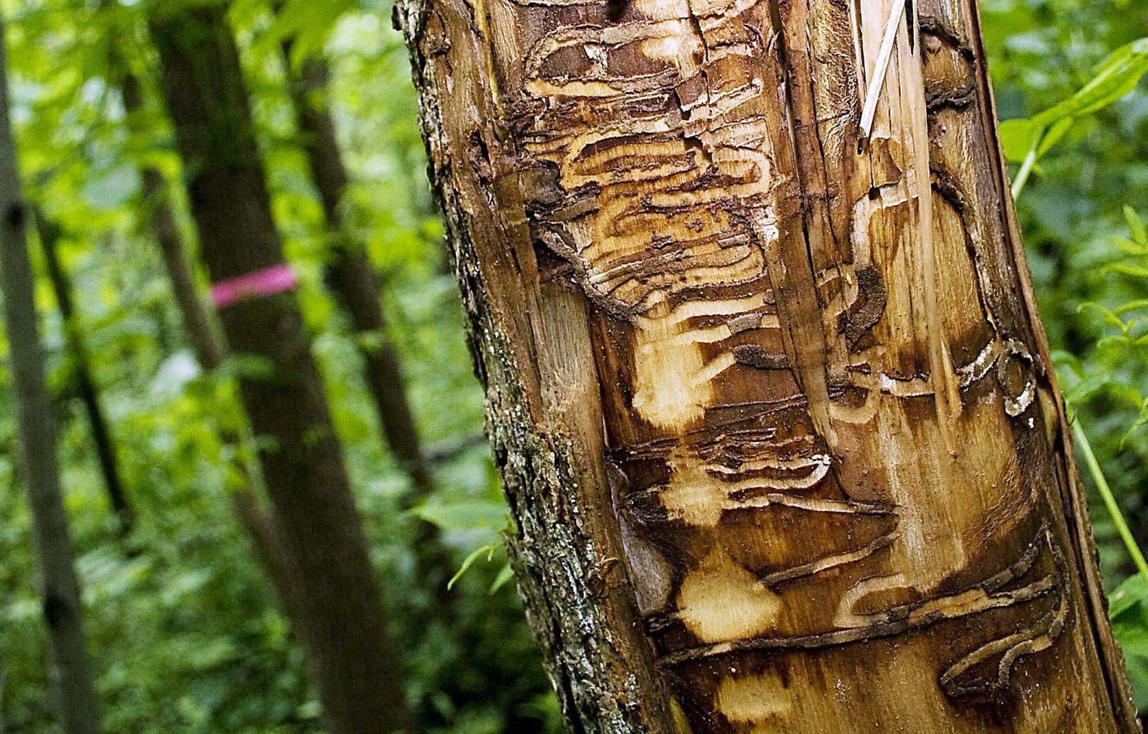 Les larves de l'agrile du frêne causent des dommages mortels aux arbres en creusant des galeries en forme de serpentin dans le bois pour s'alimenter.